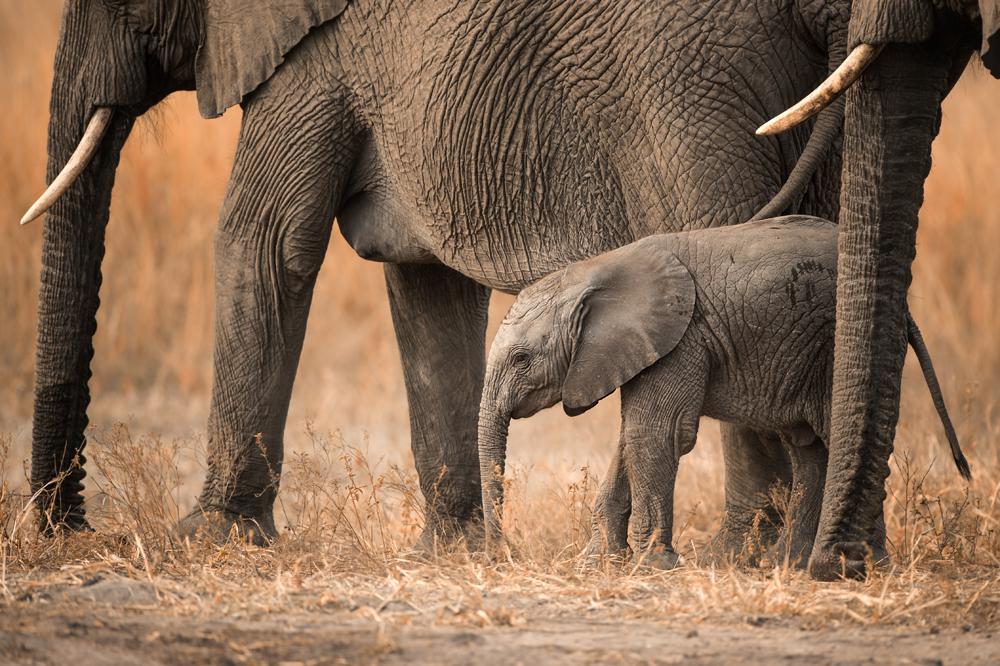 Zimbabwe-Malilangwe-Wildlife-Elephant