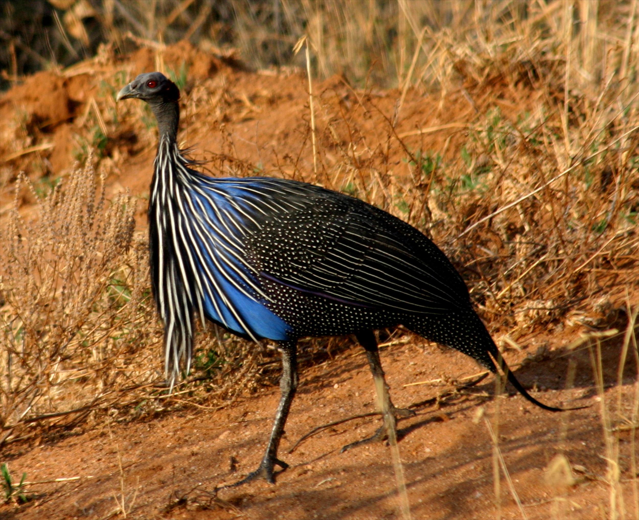 Roberts Safaris Kenya Bird