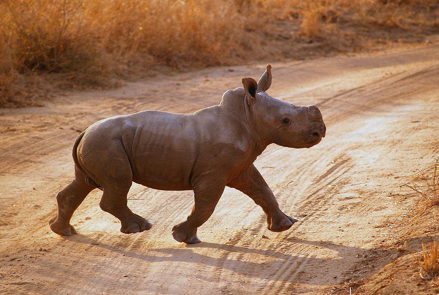 Tswalu-Kalahari-South-Africa-Blach-Rhino-Baby