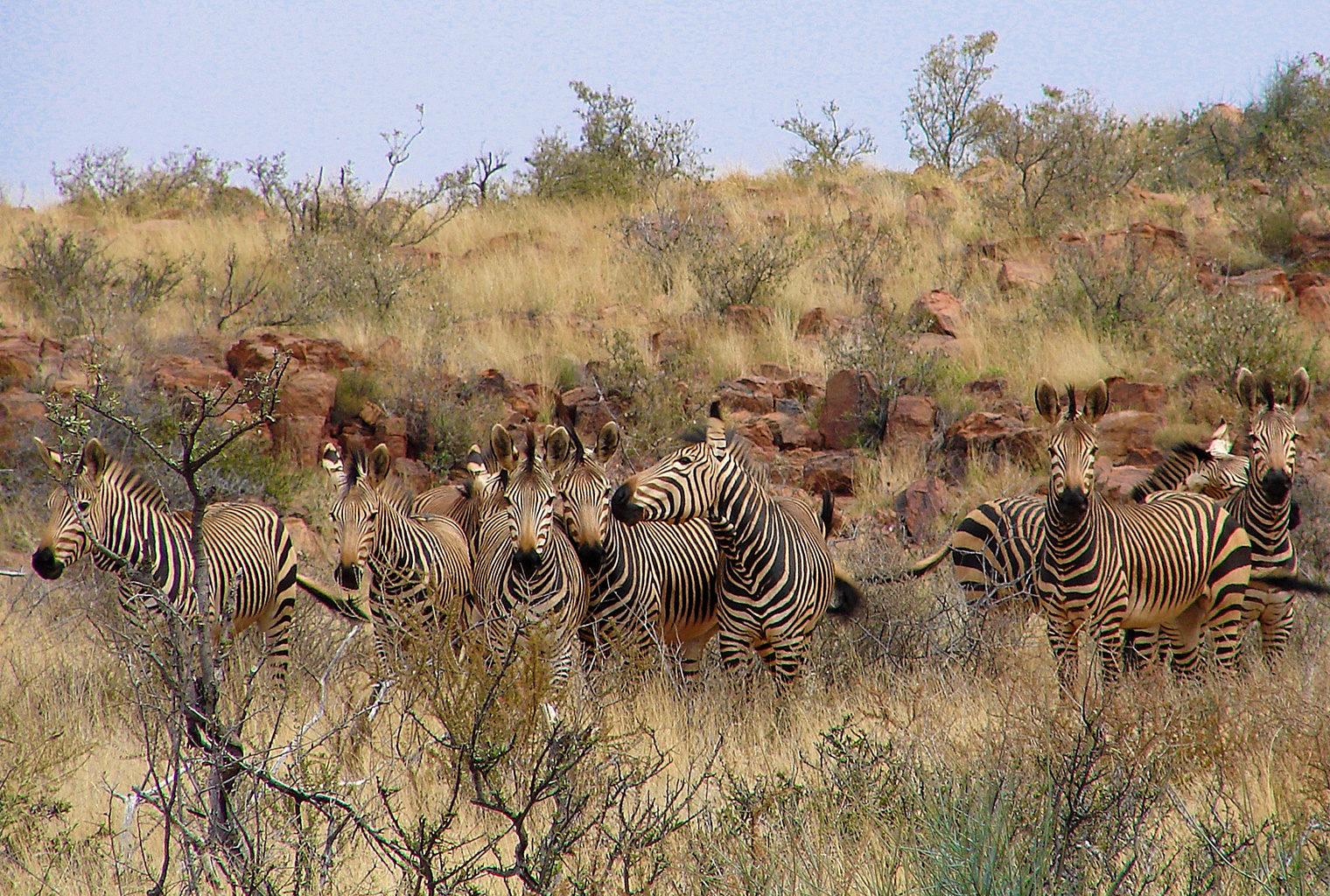 Tswalu-Kalahari,-South-Africa,-Zebras