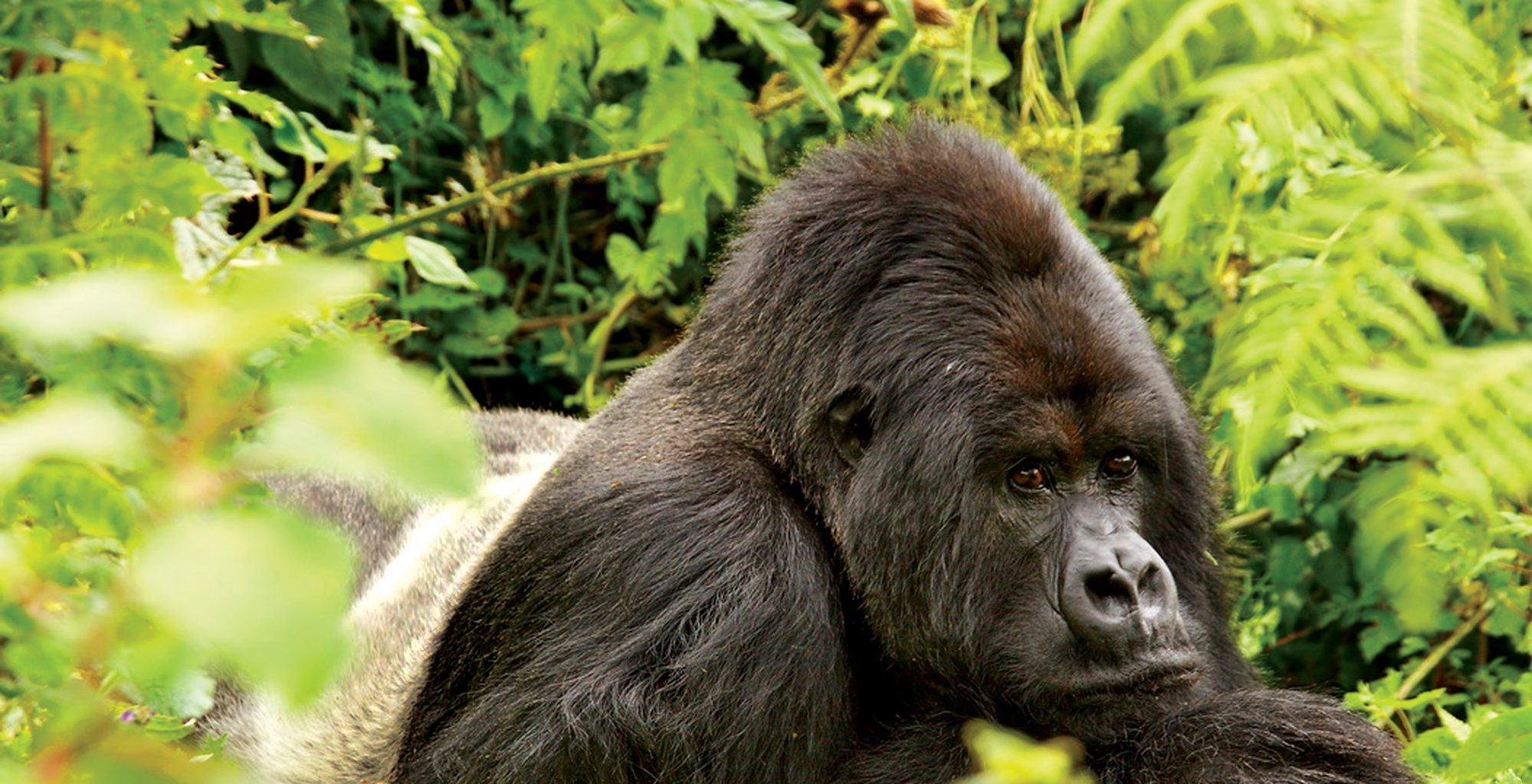Rwanda-Volcanoes-National-Park-Gorilla