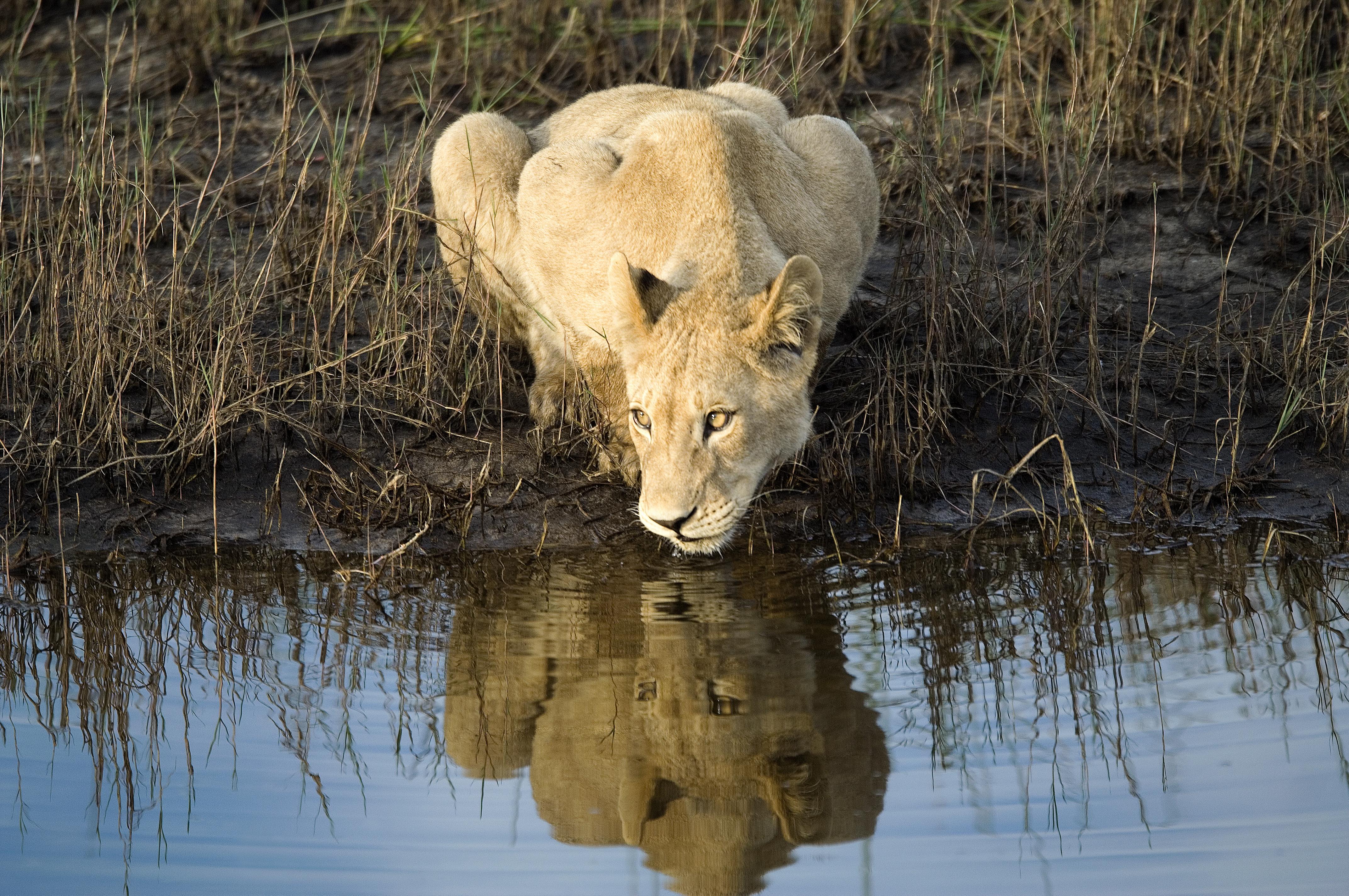 Little Vumbura Botswana Lioness