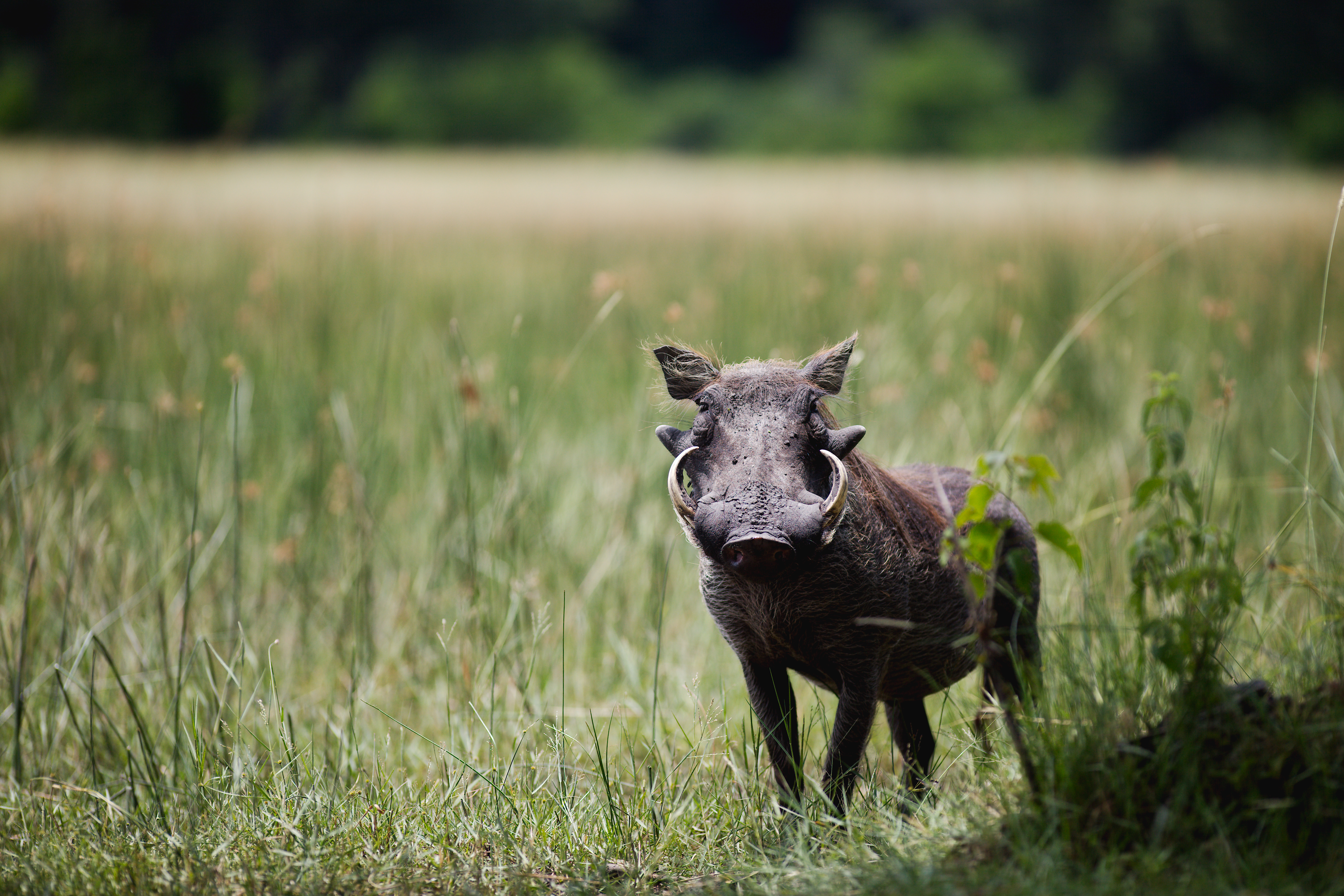 Little Kwara Camp Botswana Warthog