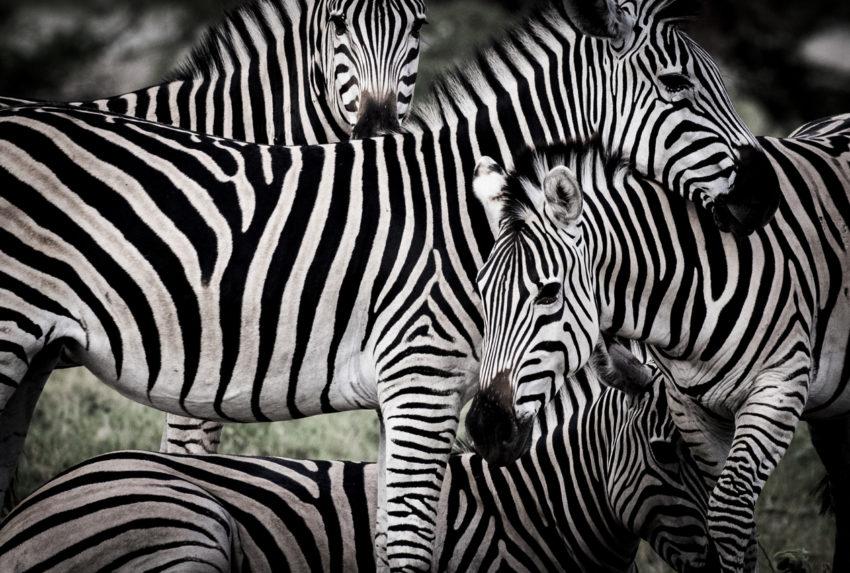 Mombo-Camp-Botswana-Zebra