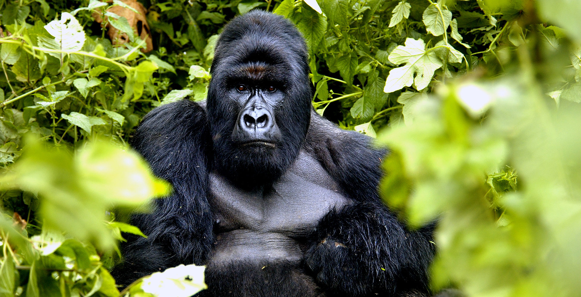 Democratic-Republic-of-Congo-Virunga-Wildlife-Gorilla