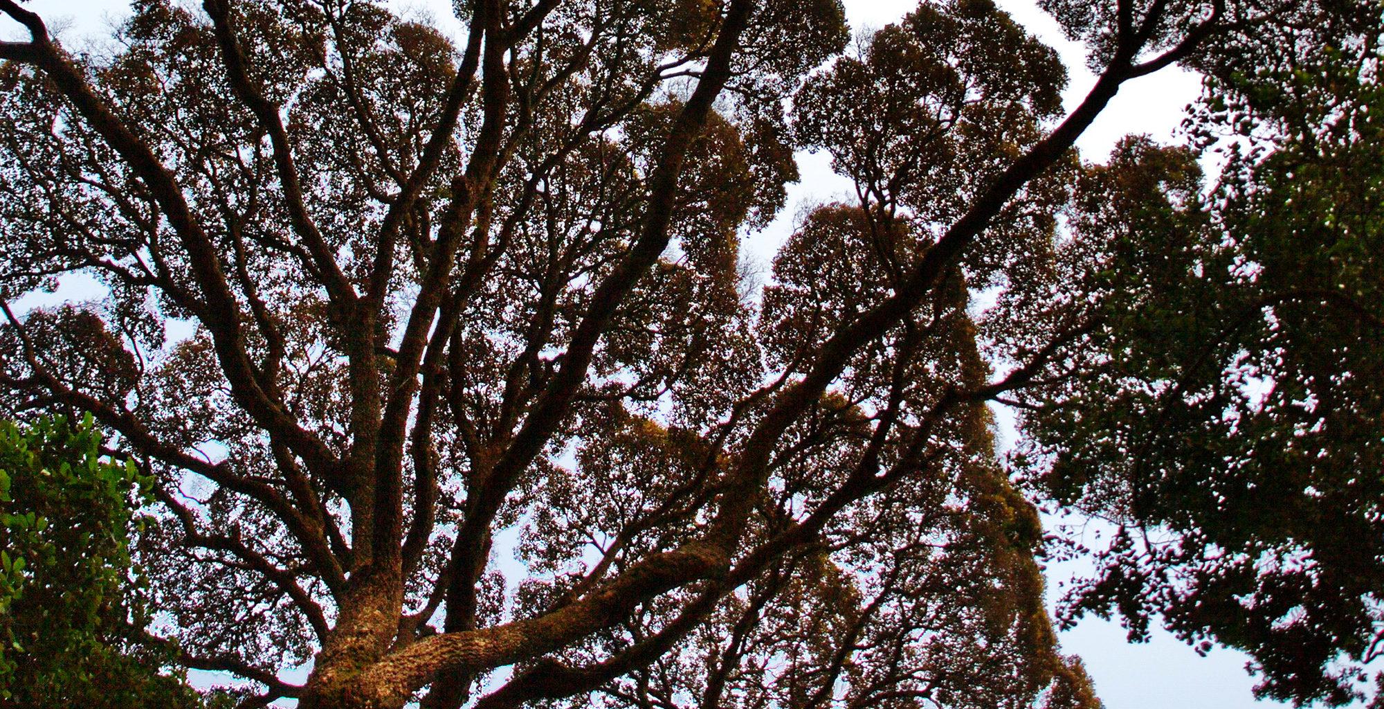 Rwanda-Nyungwe-National-Park-Tree