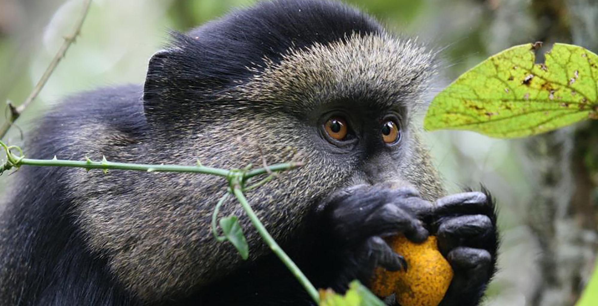 Rwanda-Virunga-Golden-Monkey
