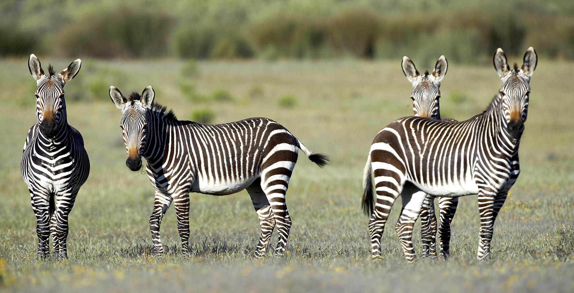 South-Africa-Bushmans-Kloof-Zebra