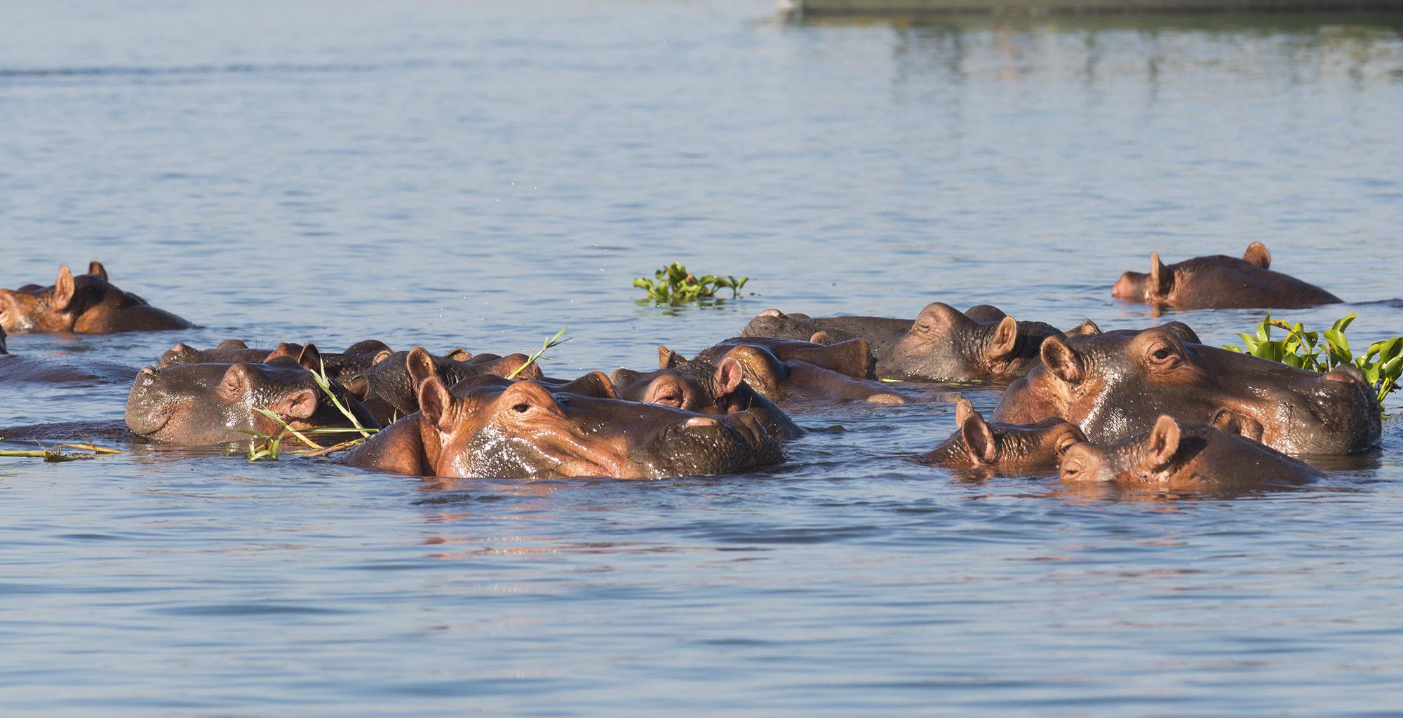 Malawi-Liwonde-National-Park-Wildlife-Hippo
