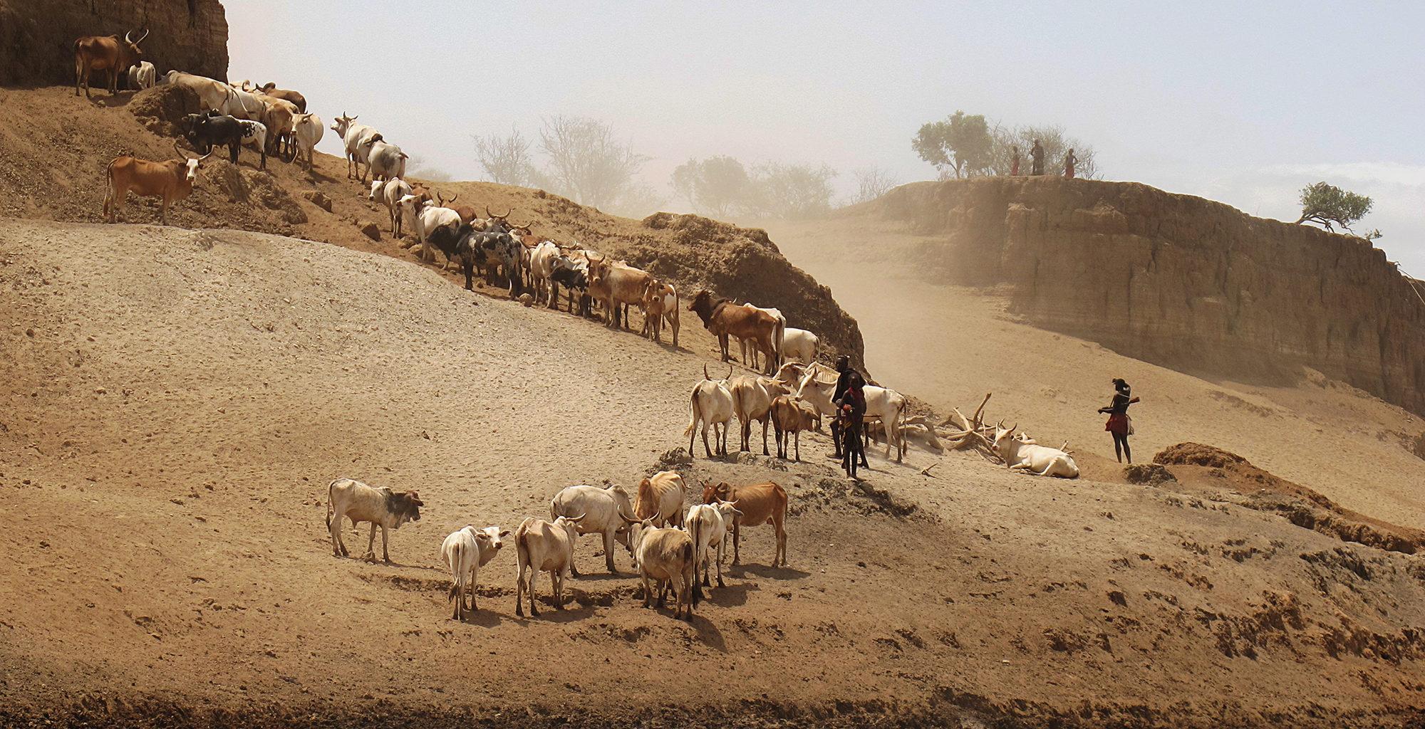 Ethiopia-Omo-Valley-Cattle