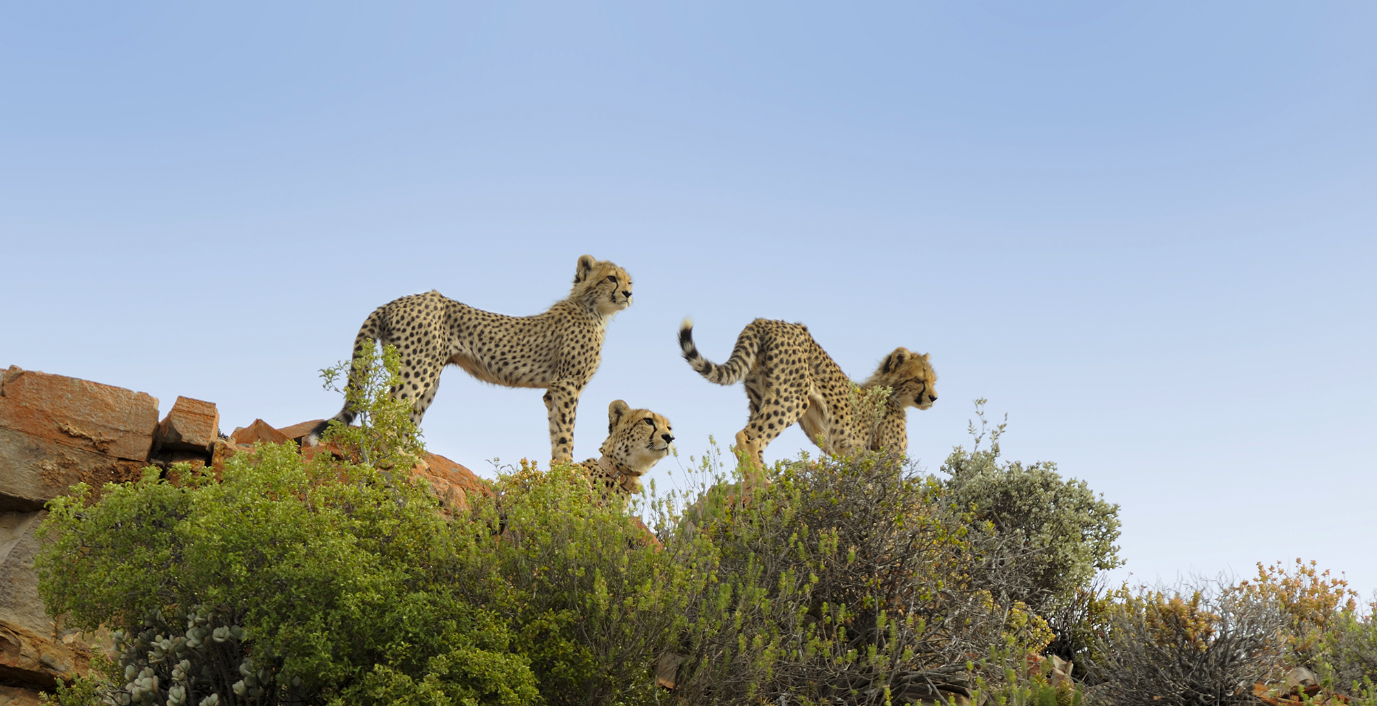 South-Africa-Cape-Town-Province-Wildlife-Cheetah