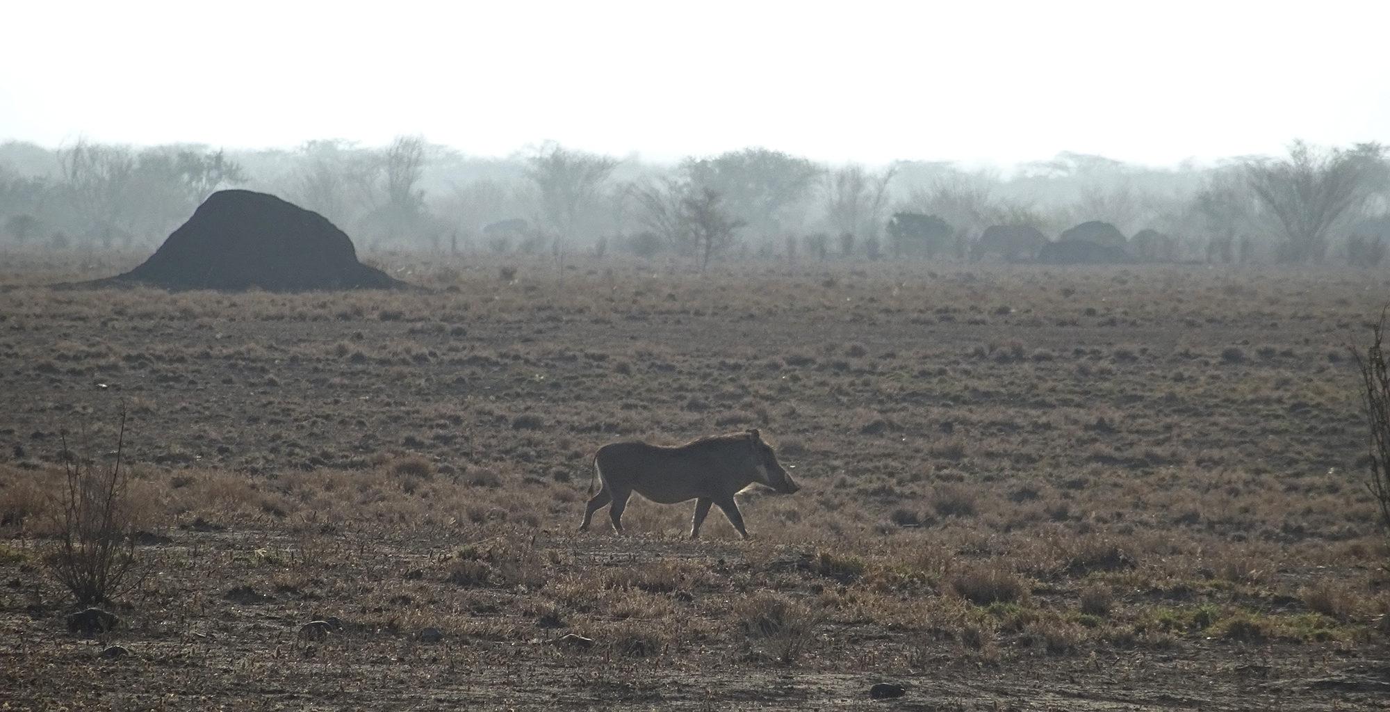 Ethiopia-Awash-Alledeghi-Warthog