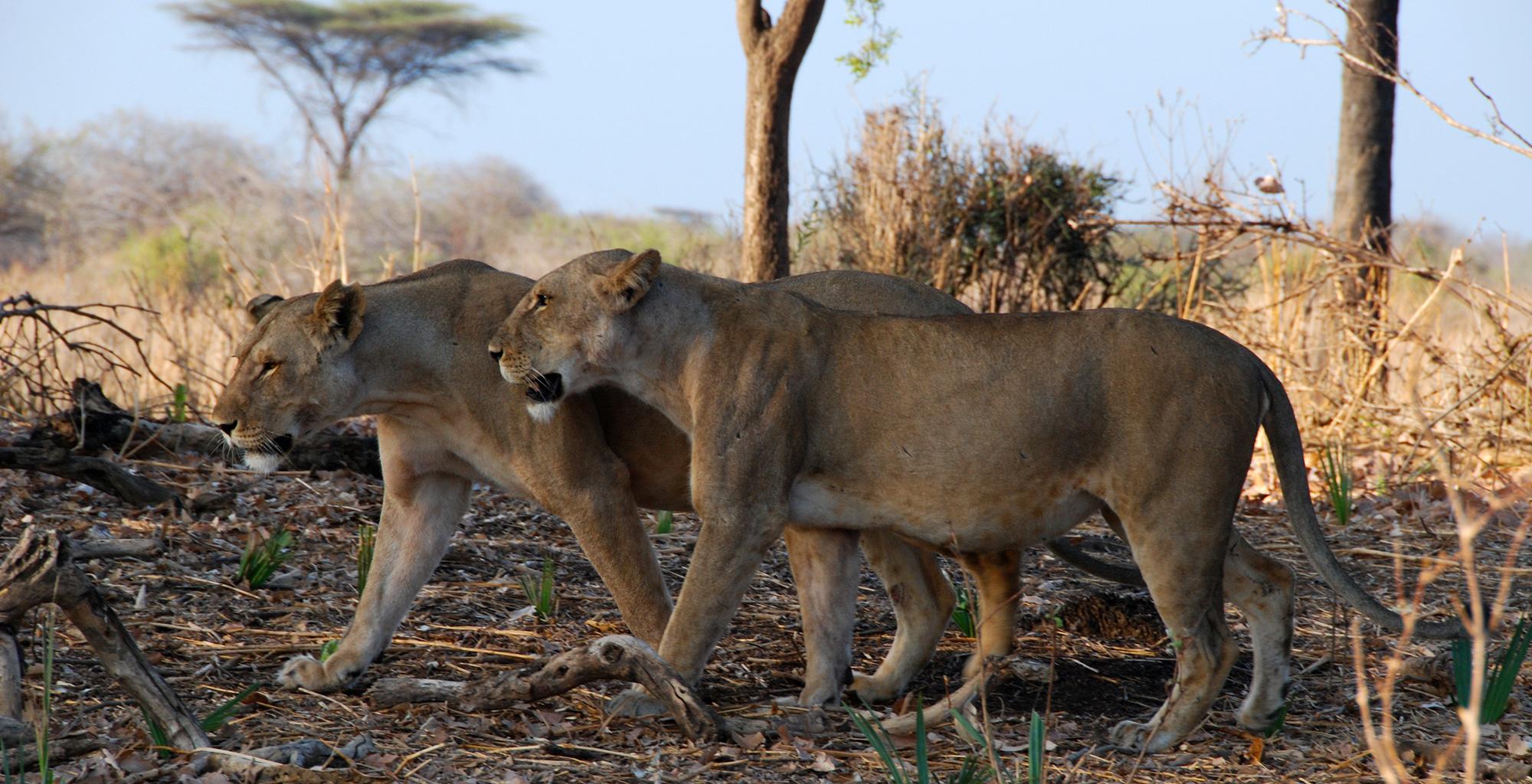 Tanzania-Ruaha-National-Park-Lions