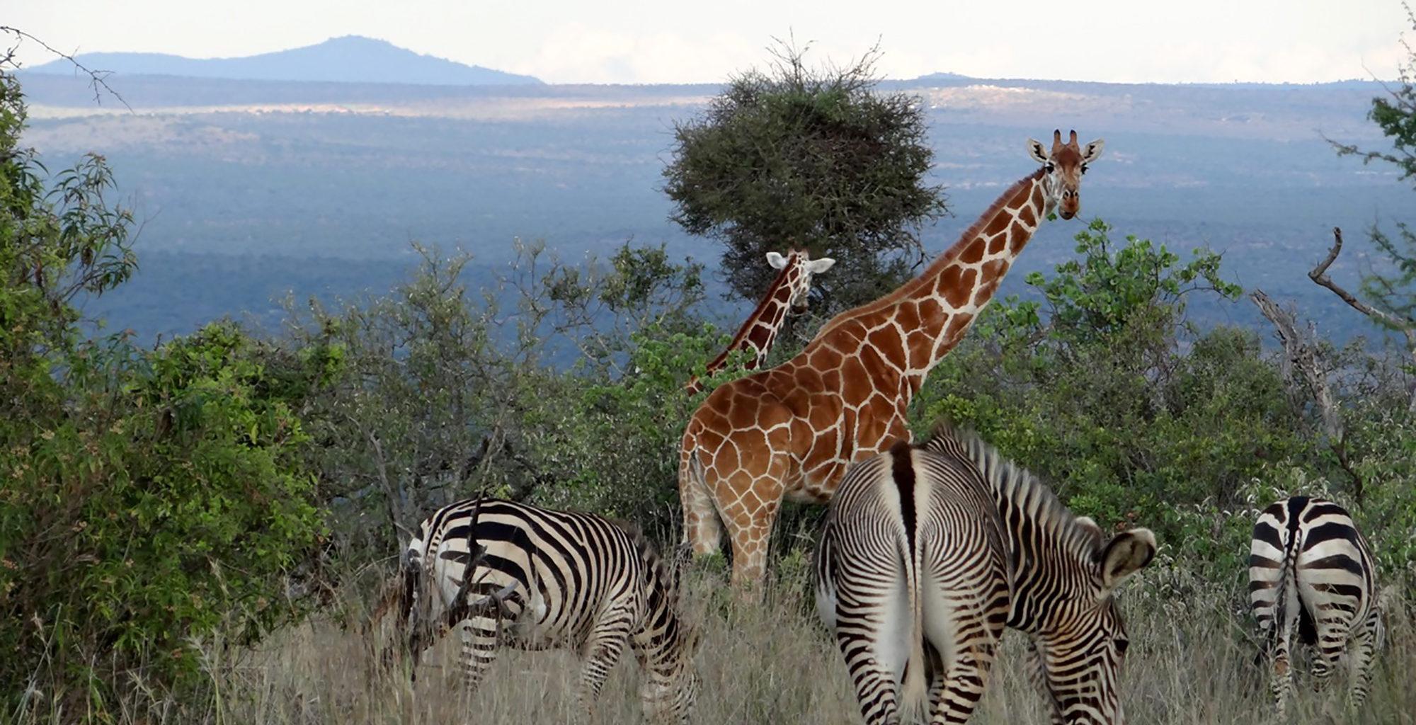 Kenya-Sosian-Game-Lodge-Zebra-Giraffe
