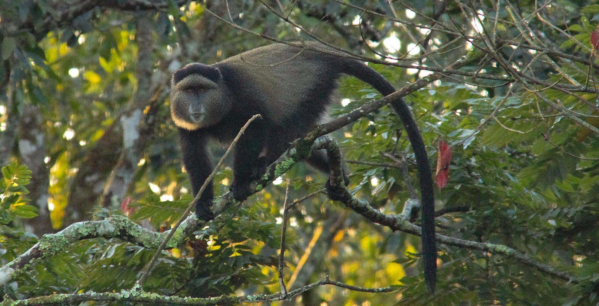 Rwanda-Nyungwe-National-Park-Golden-Monkey
