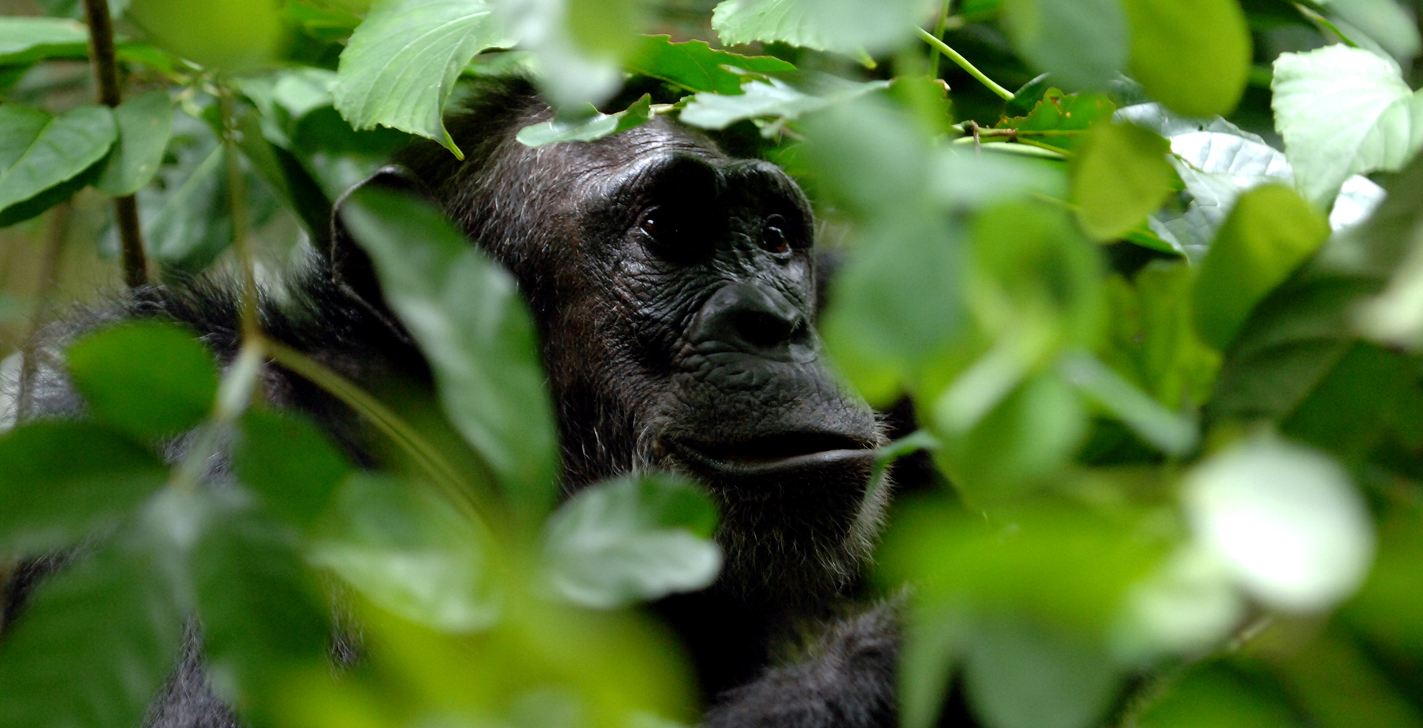 Tanzania-Greystoke-Mahale-Chimp