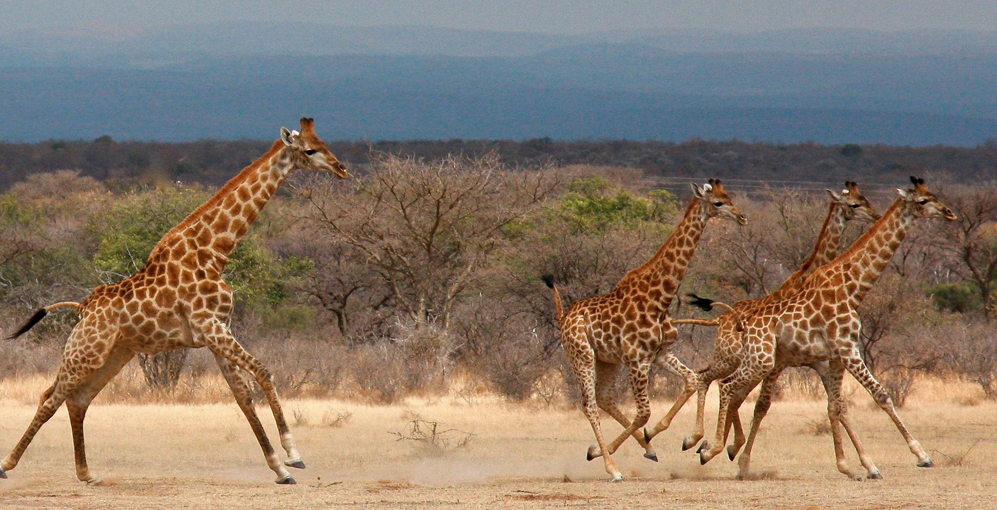 South-Africa-Waterberg-Giraffe