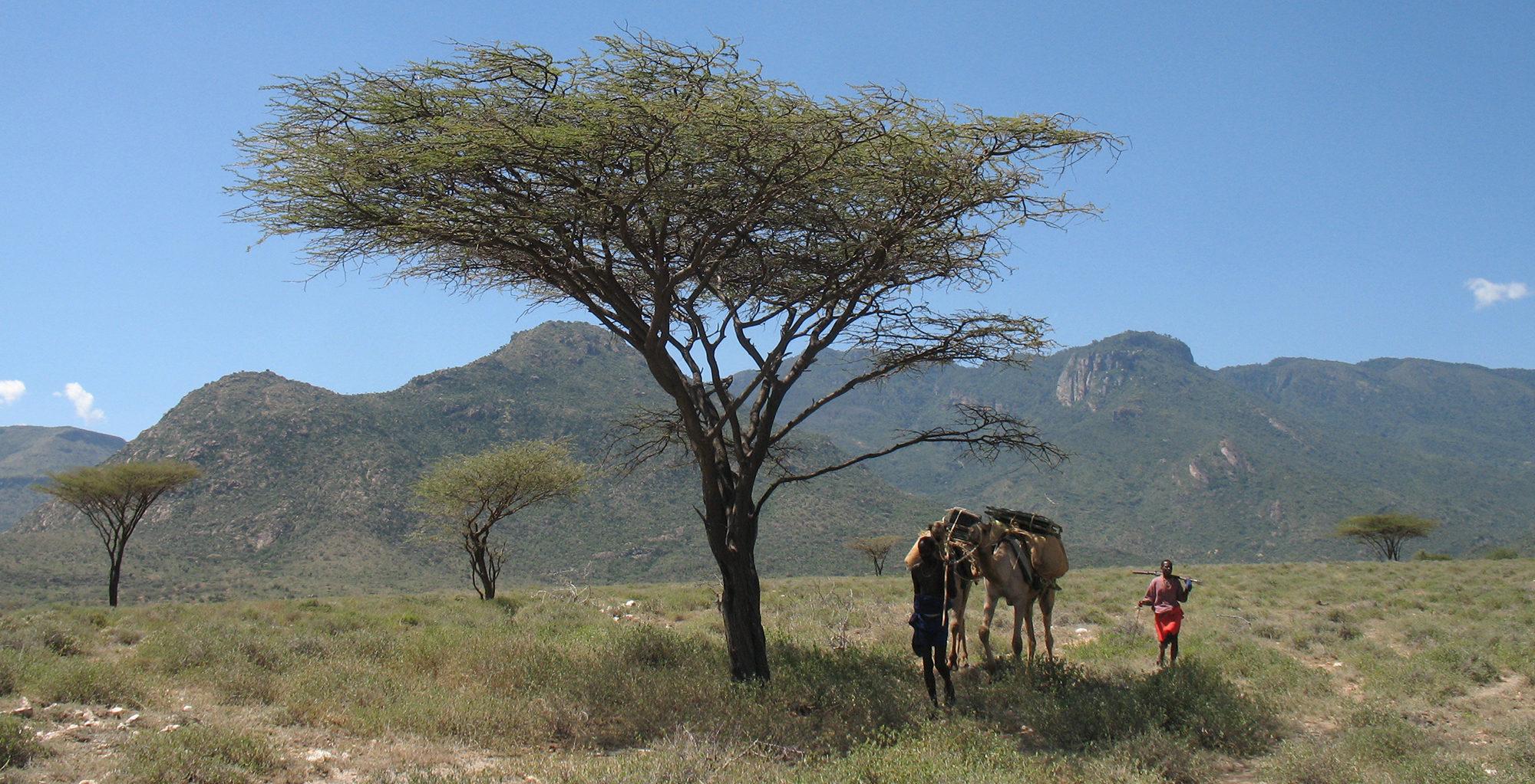 Kenya-Desert-Rose-Lodge-Camel