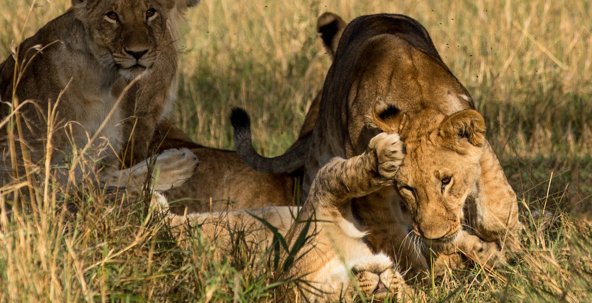 Kenya-Maasai-Mara-Wildlife-Lion