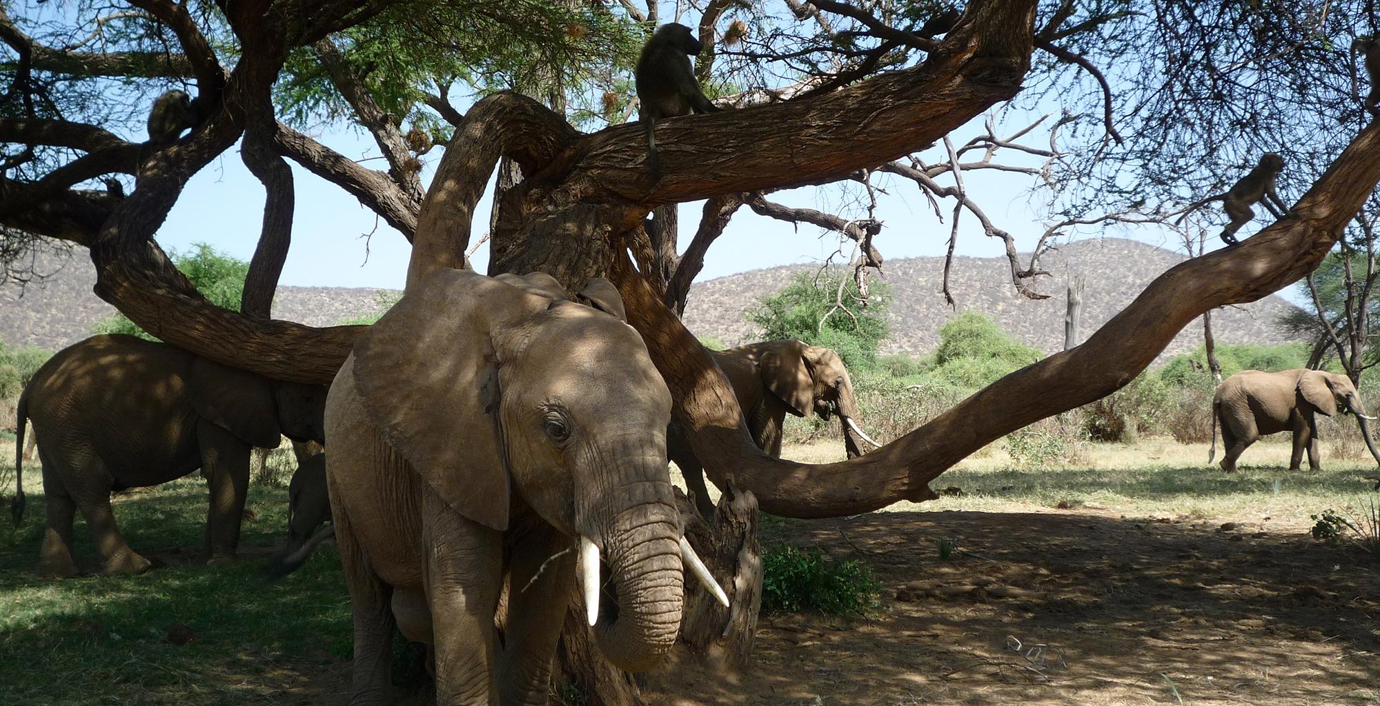 Kenya-Elephant-Watch-Elephant-Monkey-Tree