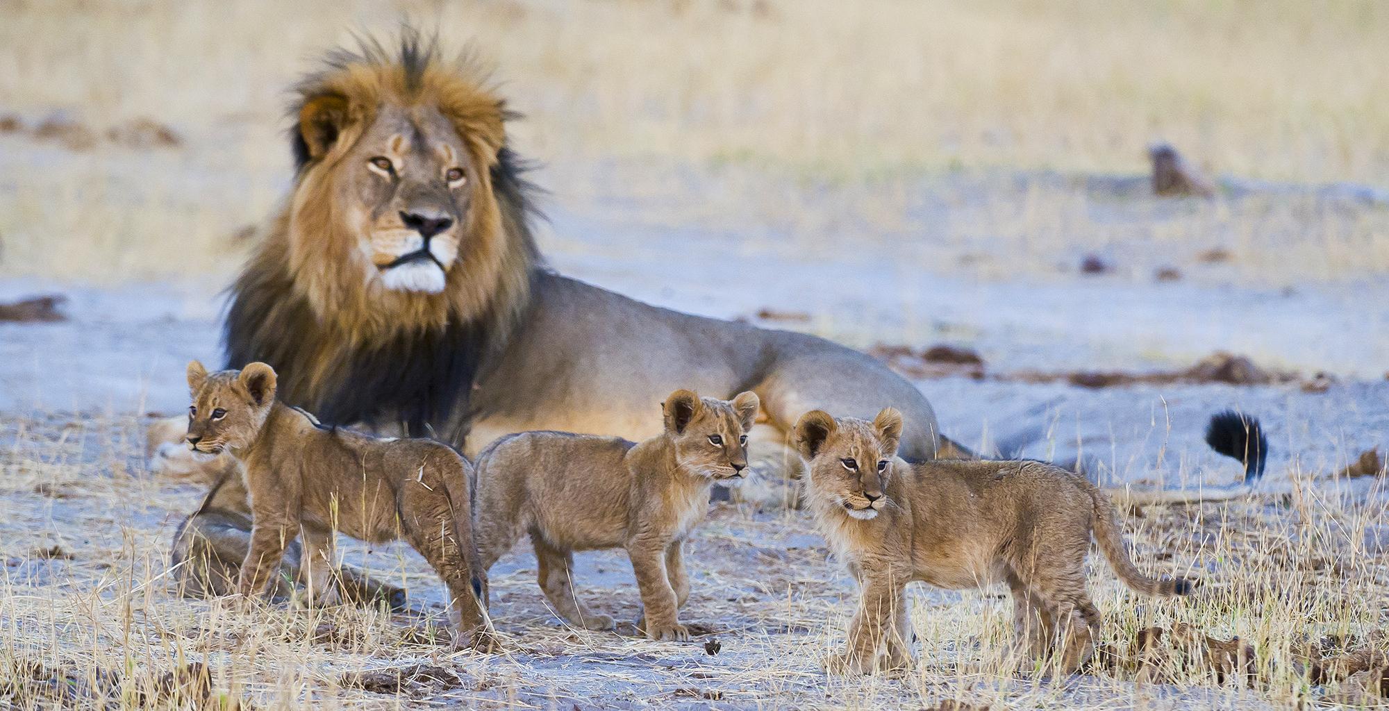 Zimbabwe-Davisons-Camp-Wildlife-Lion
