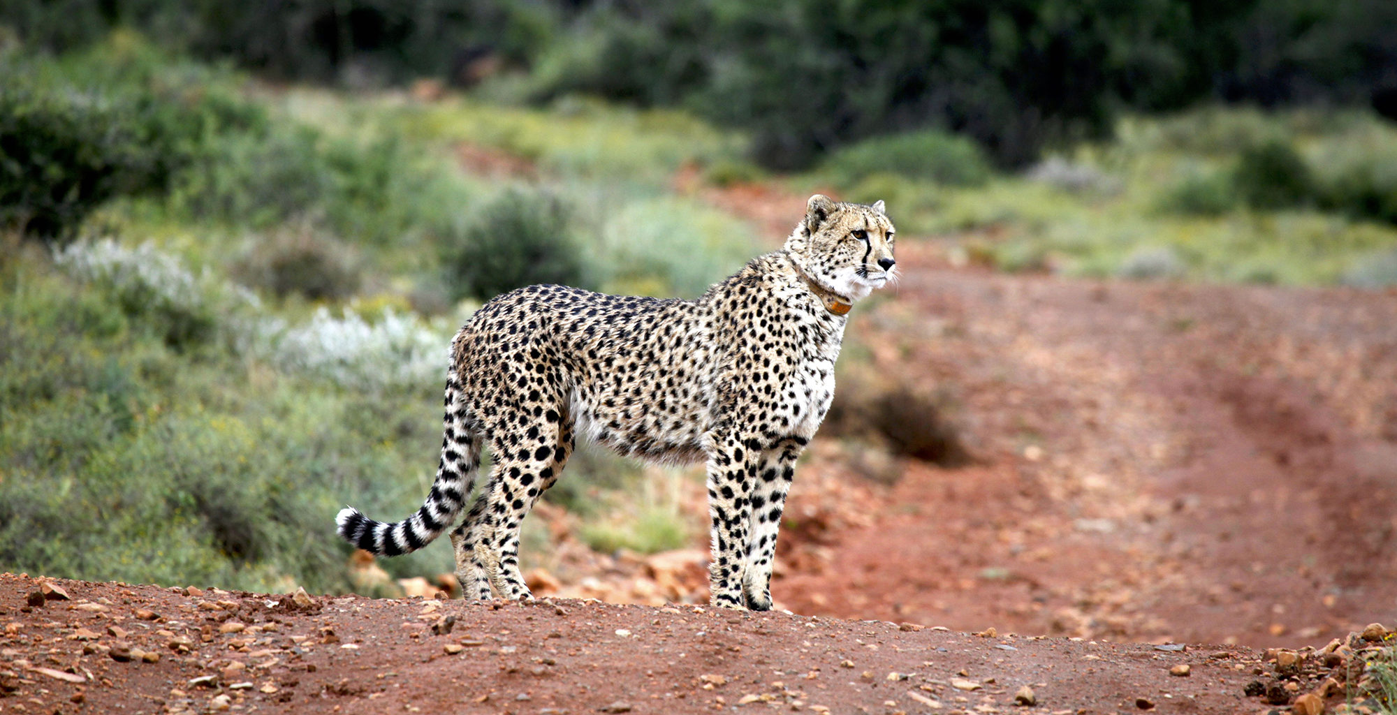 South-Africa-Great-Karoo-Cheetah