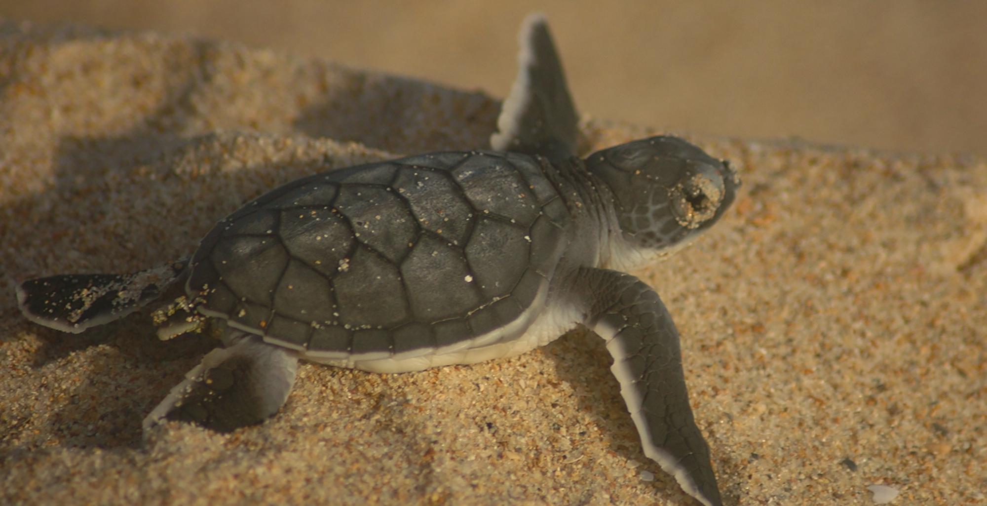 Kenya-Mainland-Coast-Sealife-Turtle