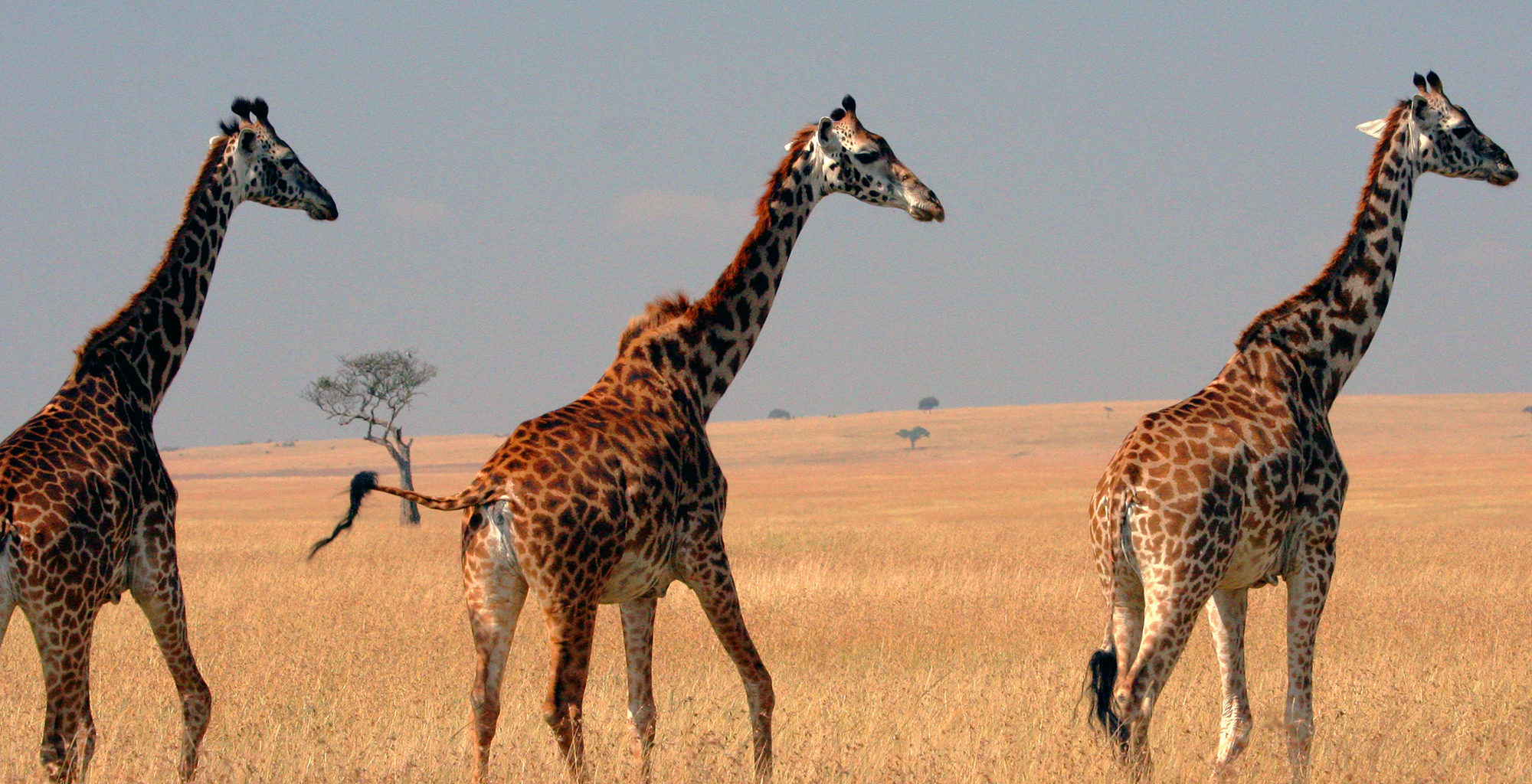Kenya-Maasai-Mara-Wildlife-Giraffe