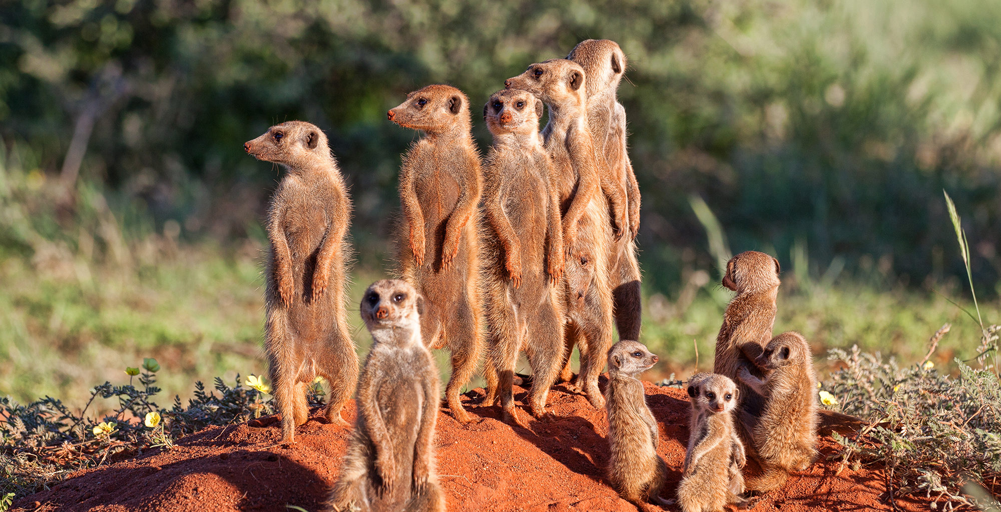 South-Africa-Kalahari-Meerkat