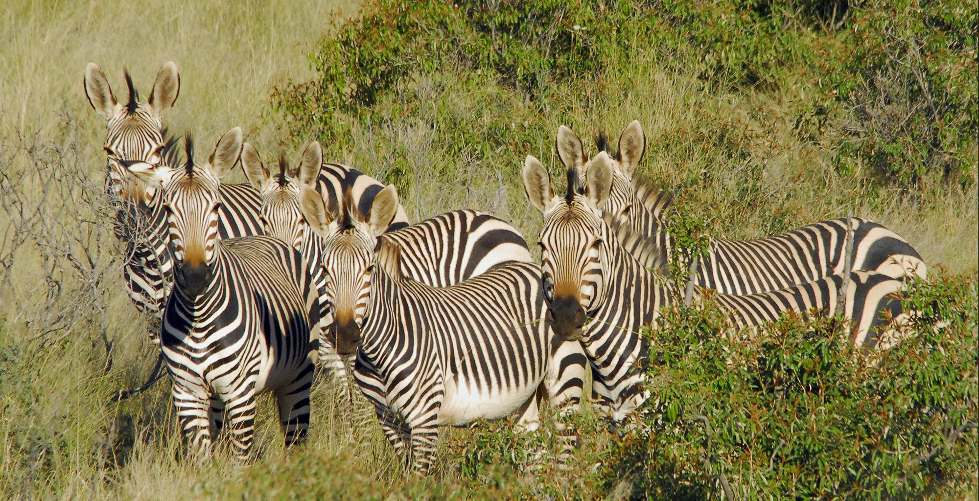 South-Africa-Kalahari-Zebra