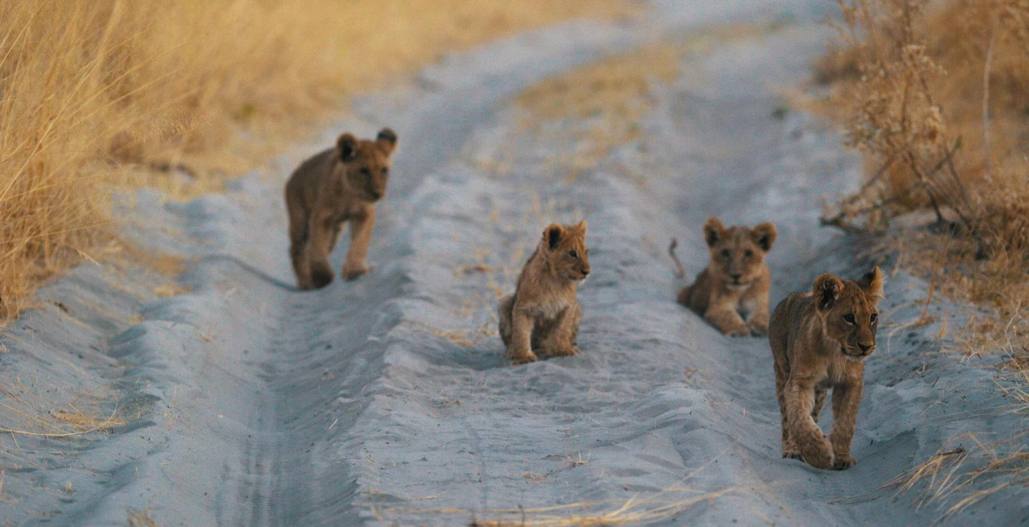 Botswana-Stanley-Camp-Lion-Cub