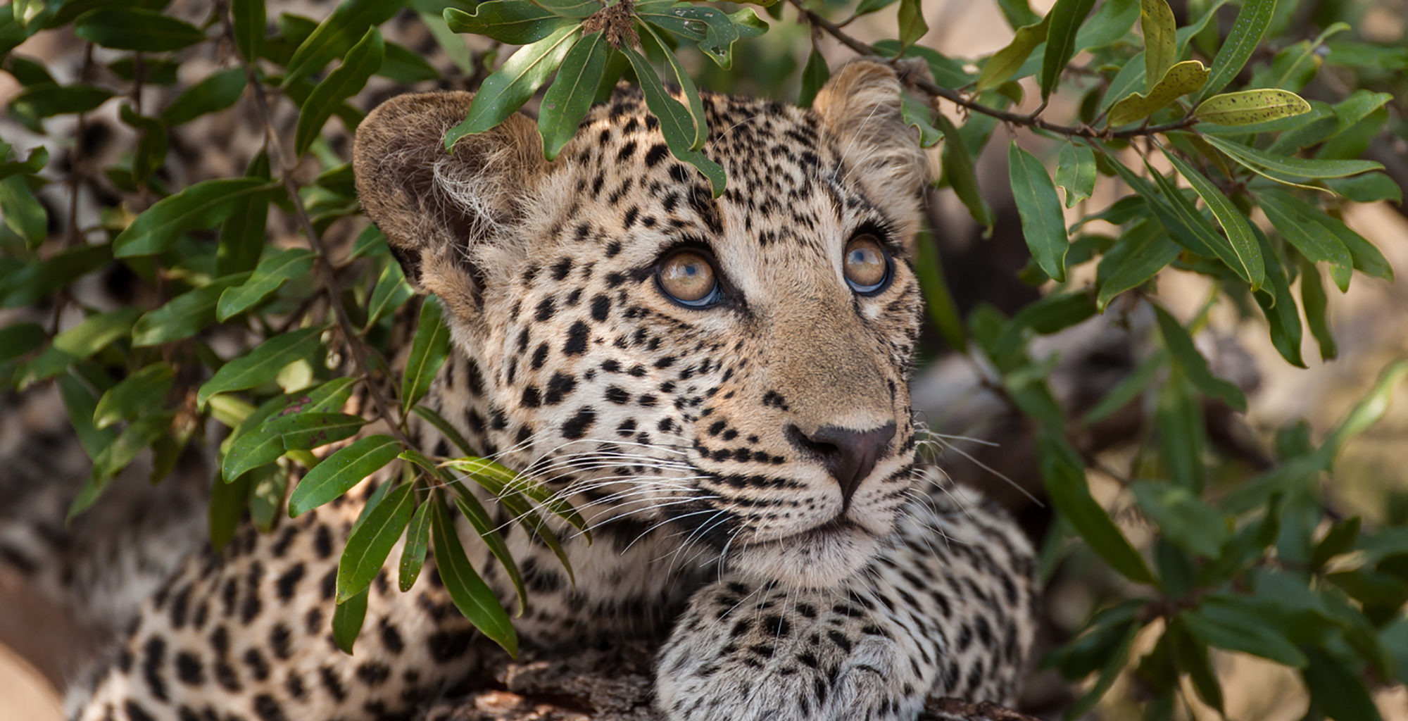 South-Africa-Royal-Malewane-Leopard