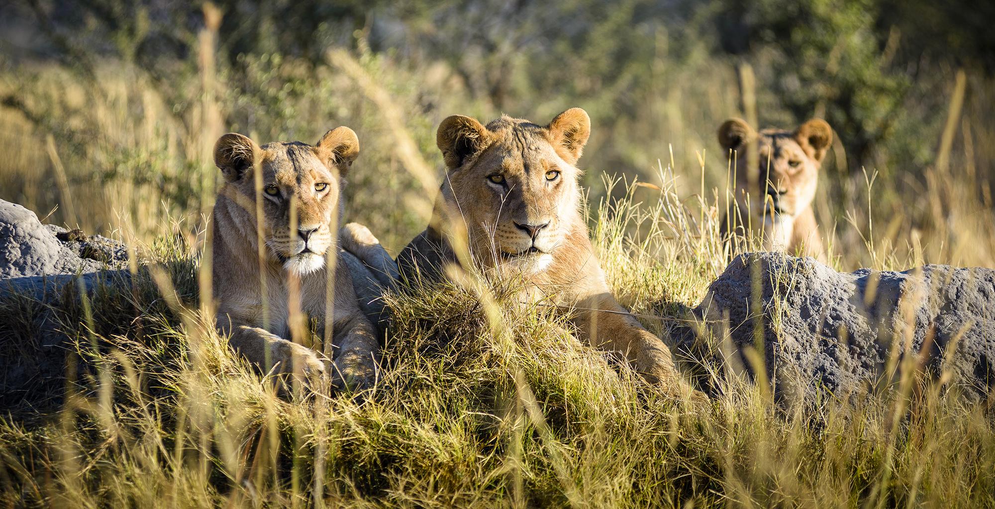 Botswana-Chiefs-Camp-Lion