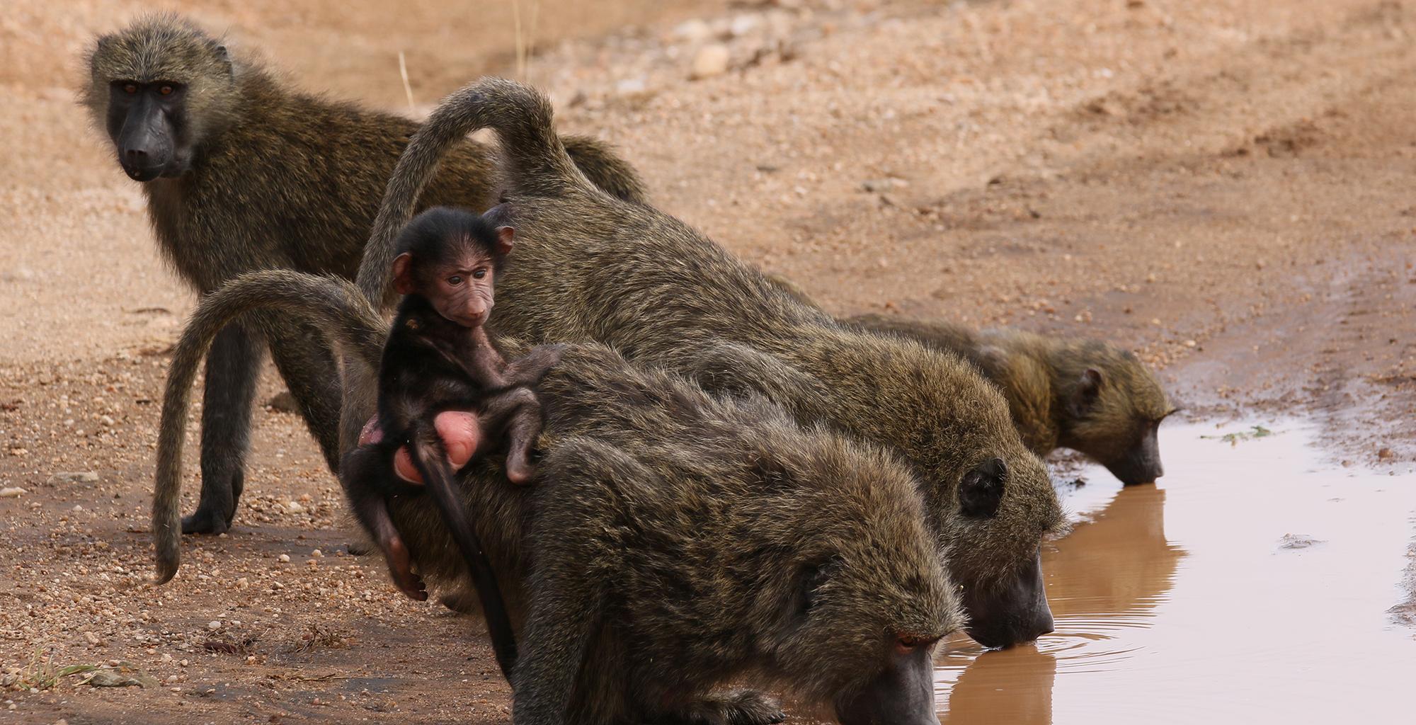 Kenya-Saruni-Samburu-Monkeys-Infant