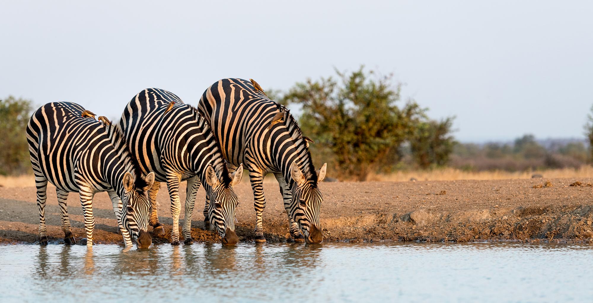 Zimbabwe-Singita-Pamushana-Wildlife-Zebra