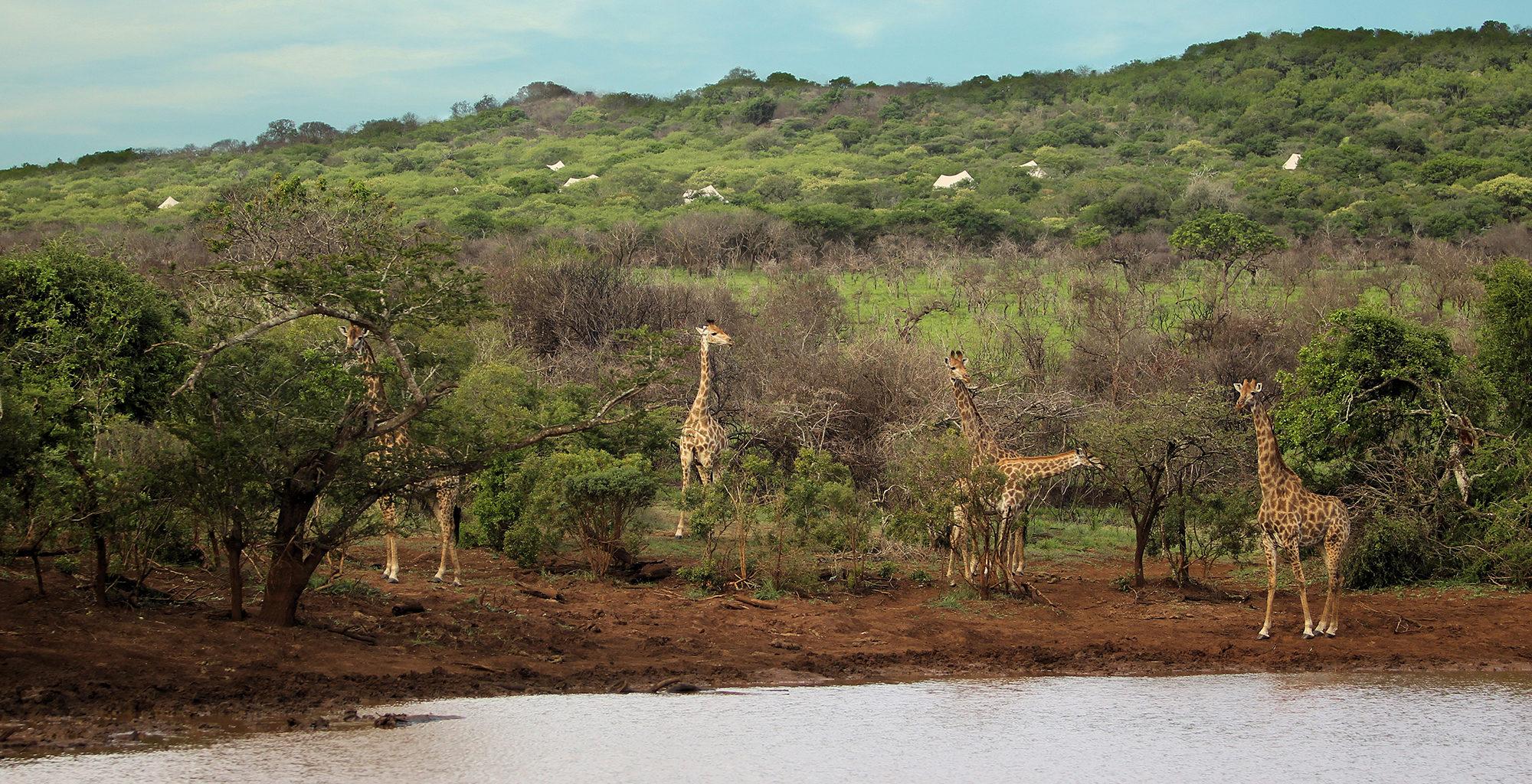 South-Africa-KwaZulu-Natal-Giraffe