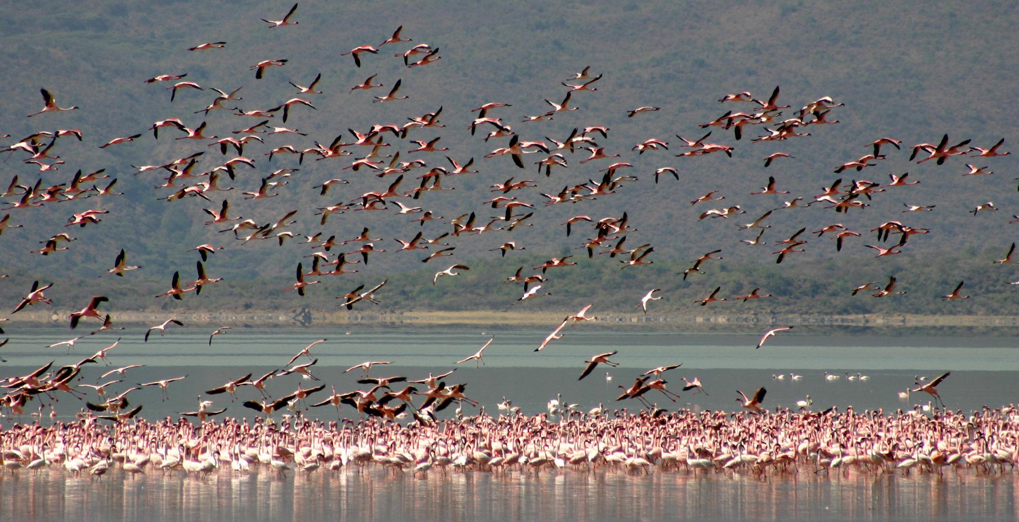 Kenya-Roberts-Safaris-Flamingo