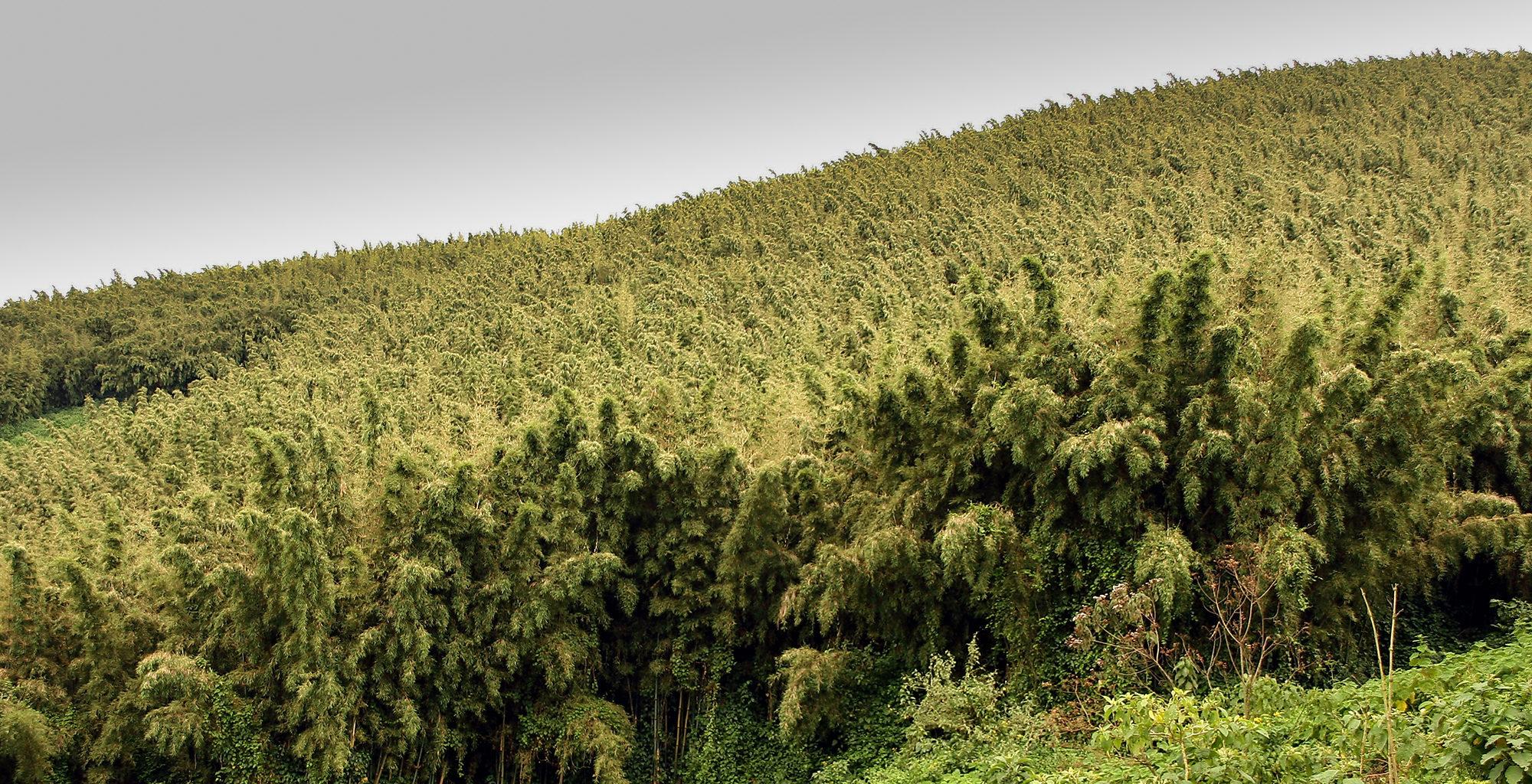 Rwanda-Volcanoes-National-Park-Forest