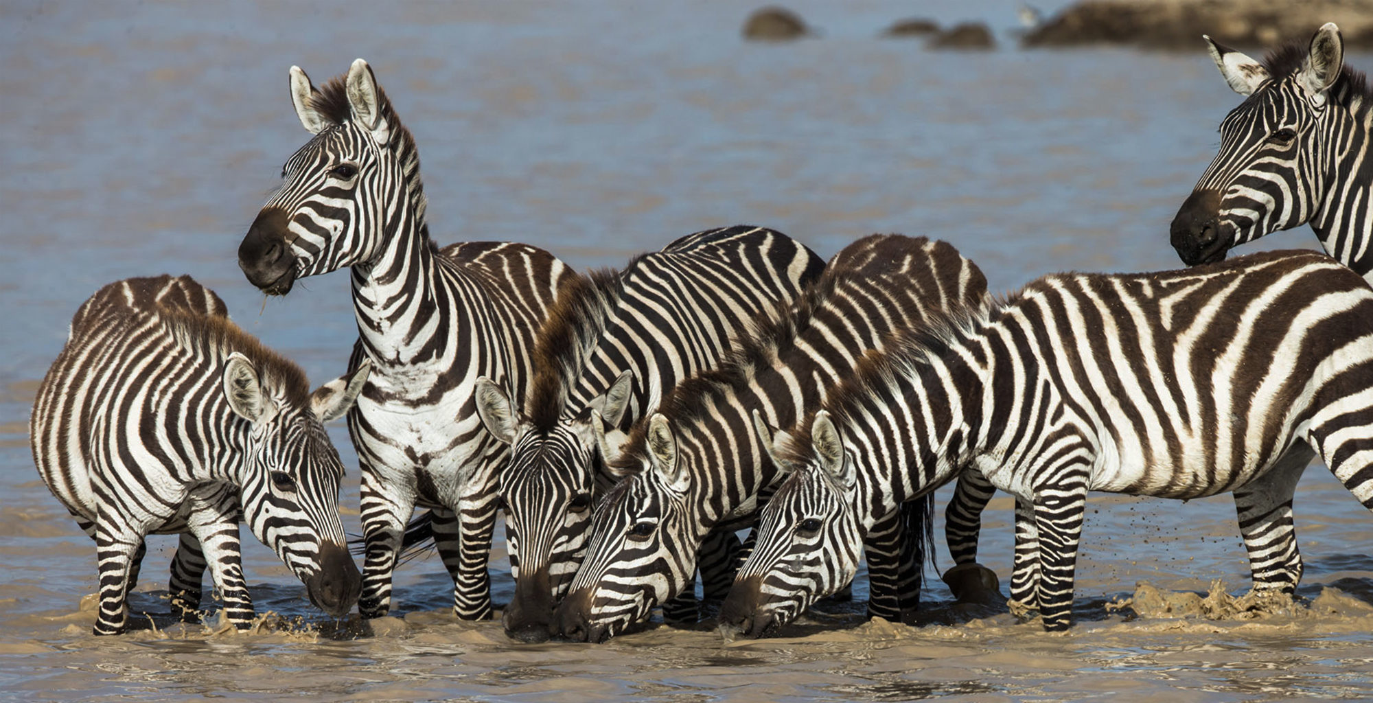 Tanzania-Loliondo-Serengeti-Zebra