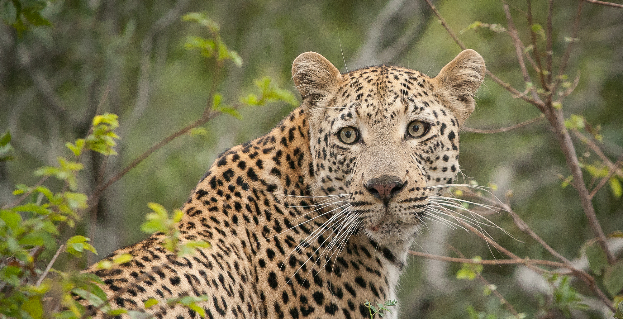 South-Africa-Kruger-Londolozi-Leopard