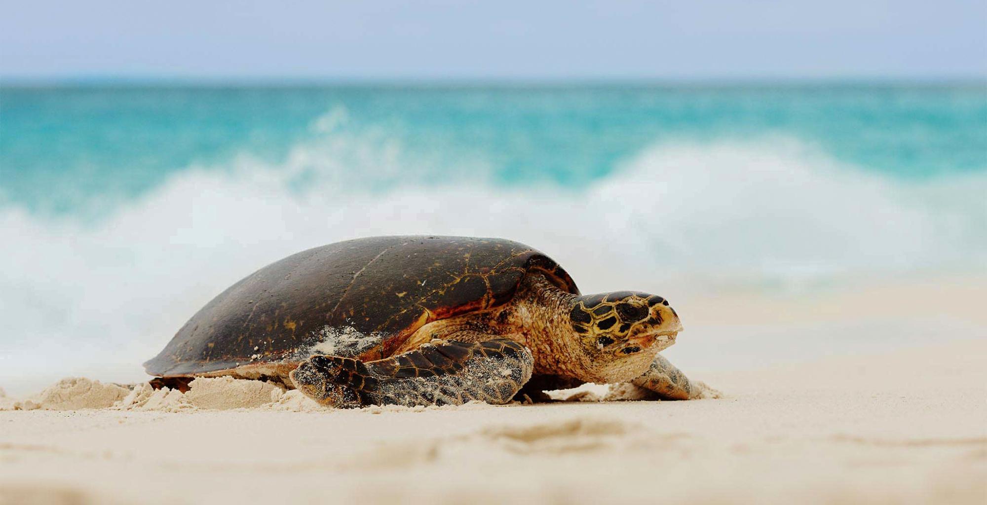 Seychelles-Fregate-Island-Wildlife-Turtle