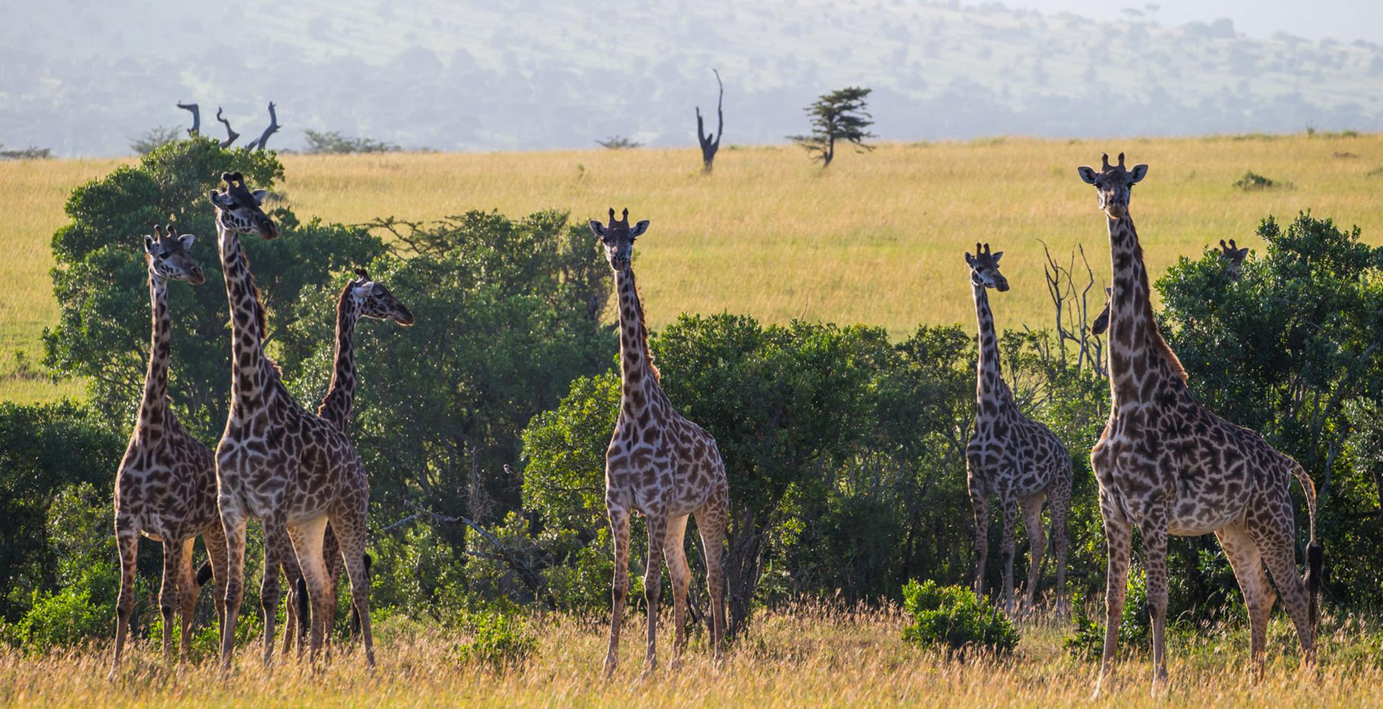 Tanzania-Loliondo-Serengeti-Giraffe