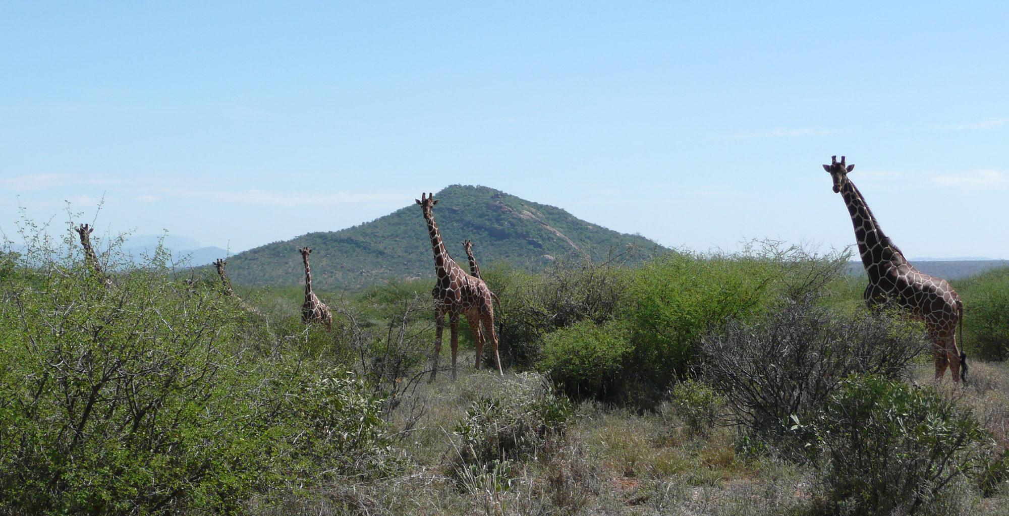Kenya-Tassia-Lodge-Giraffe