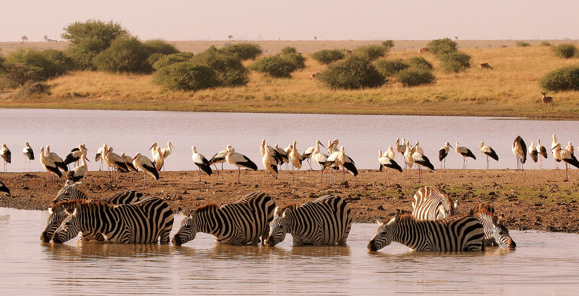 Kenya-Emakoko-Zebras-and-Birds