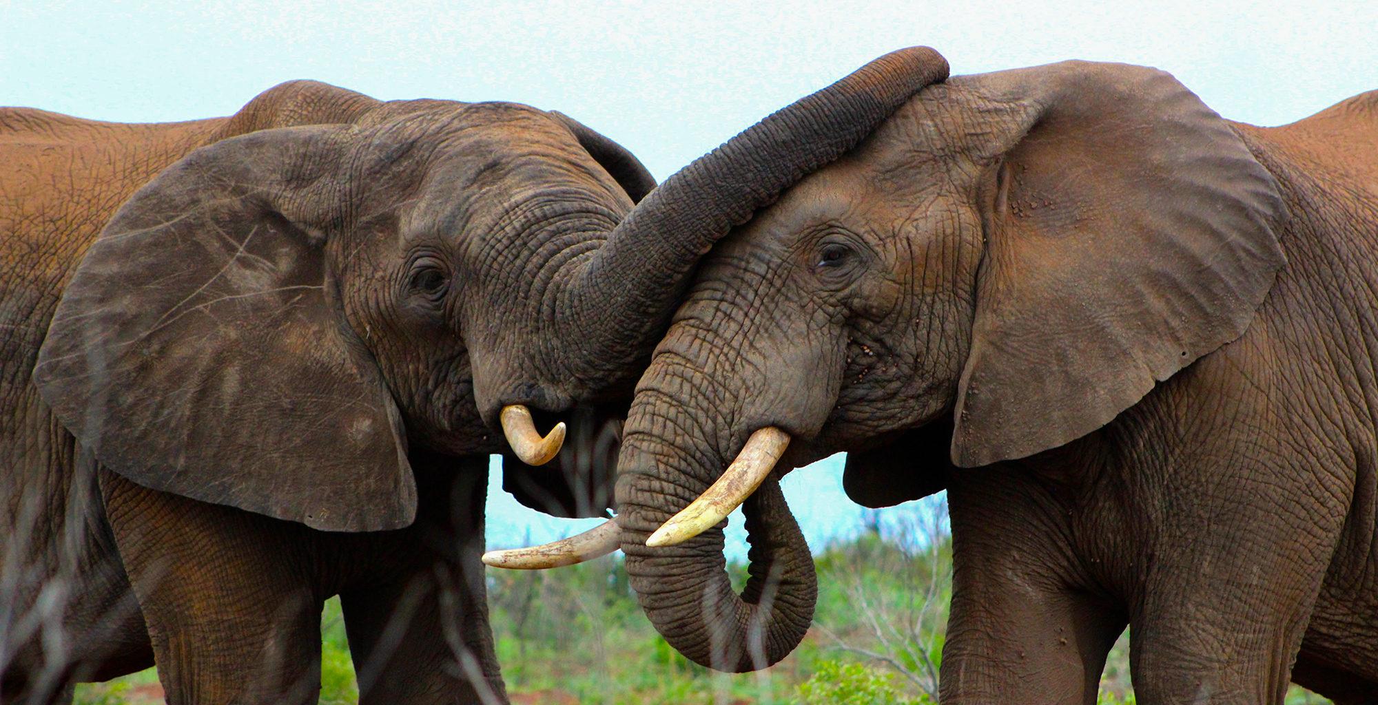 South-Africa-KwaZulu-Natal-Elephant