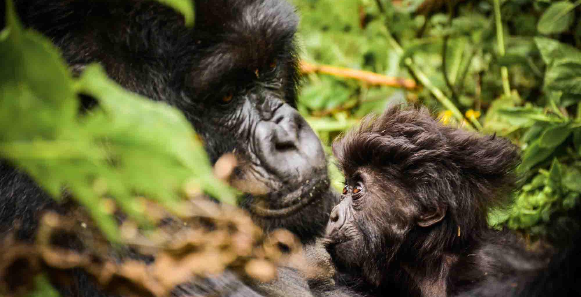 Rwanda-Sabyinyo-Silverback-Lodge-Gorilla