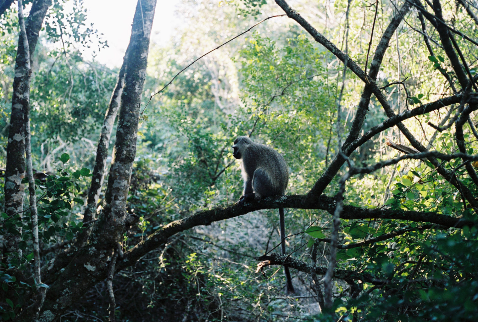 Phantom Forest South Africa Monkey
