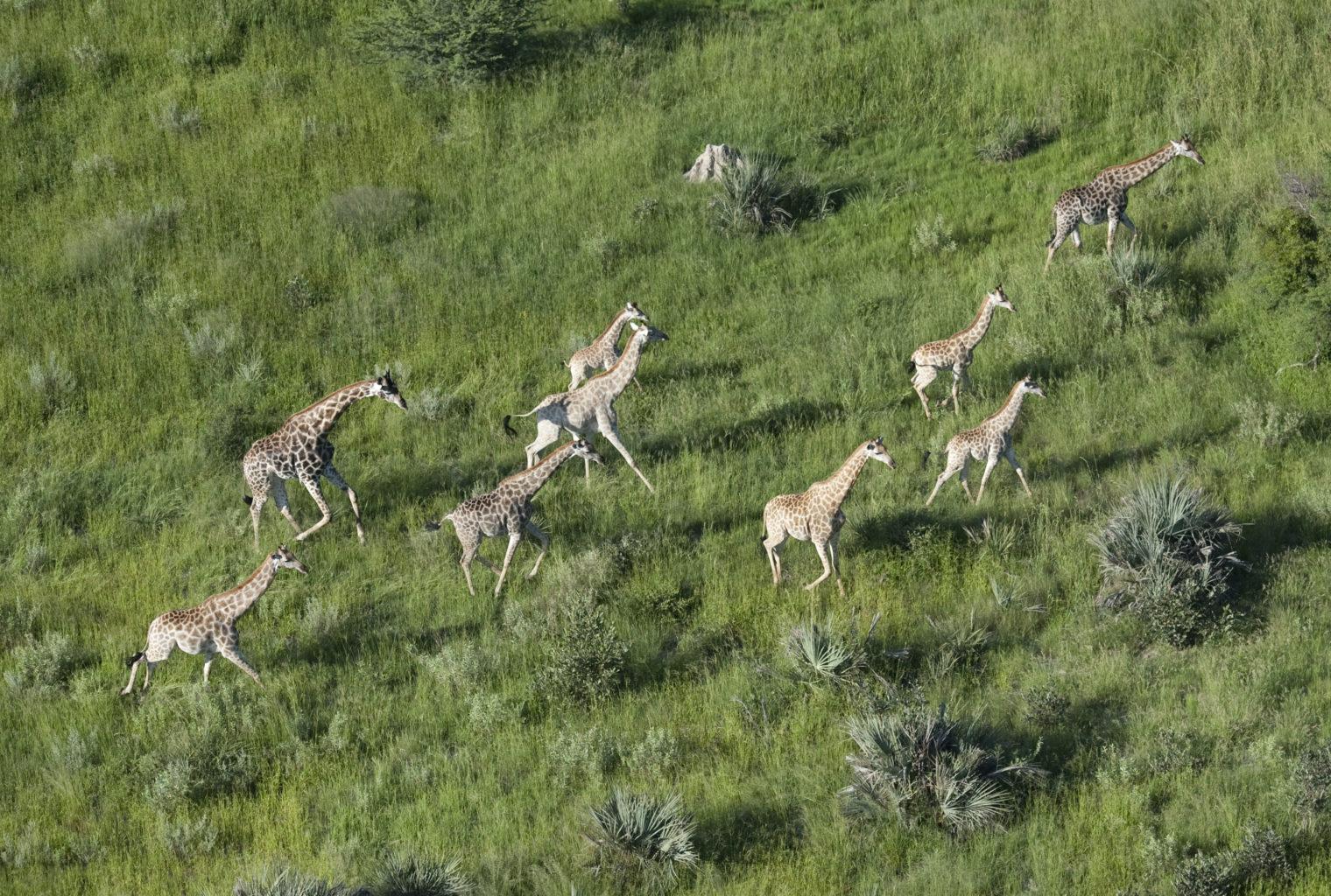 Botswana, Chitabe Camp, Giraffe