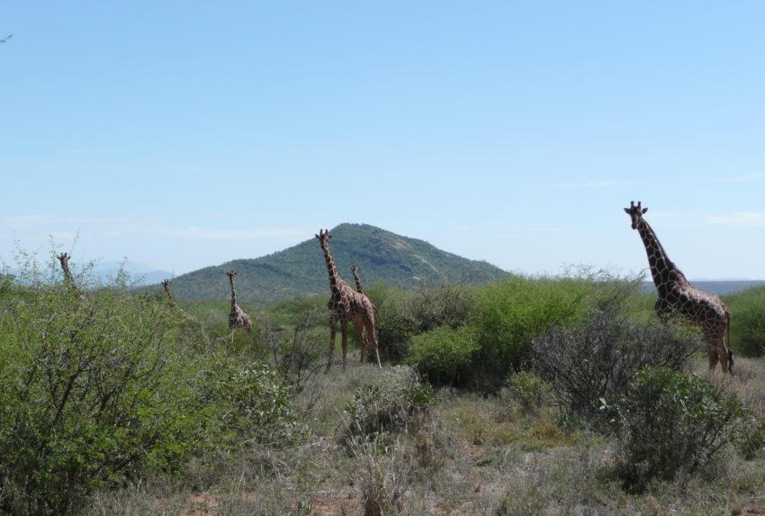 giraffes 9