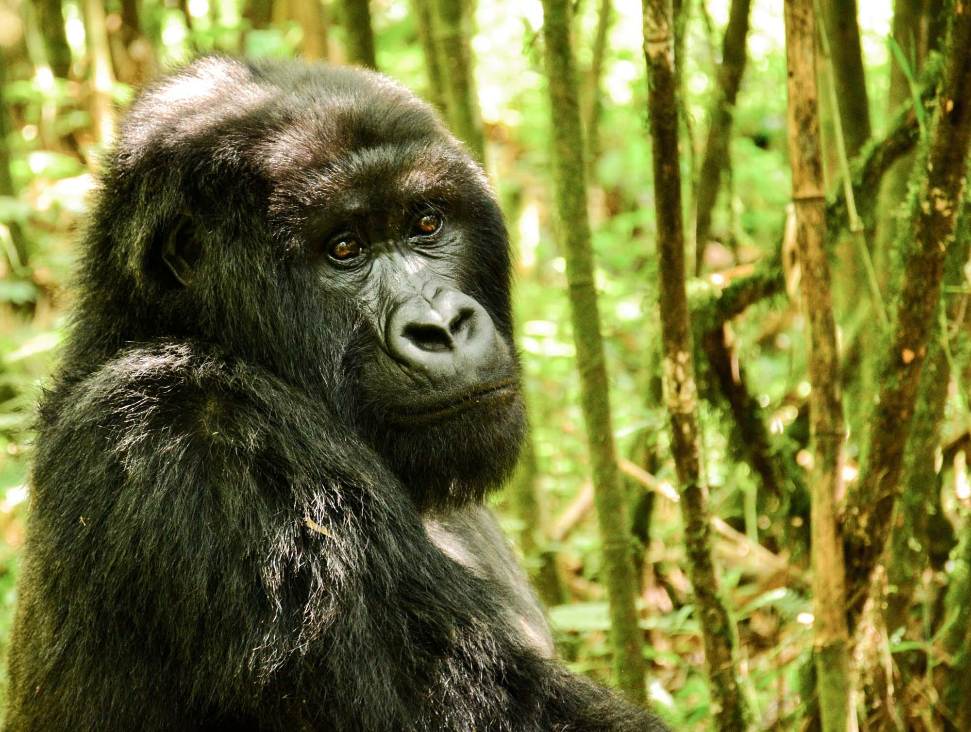 Sabyinyo Silverback Lodge Rwanda Gorilla